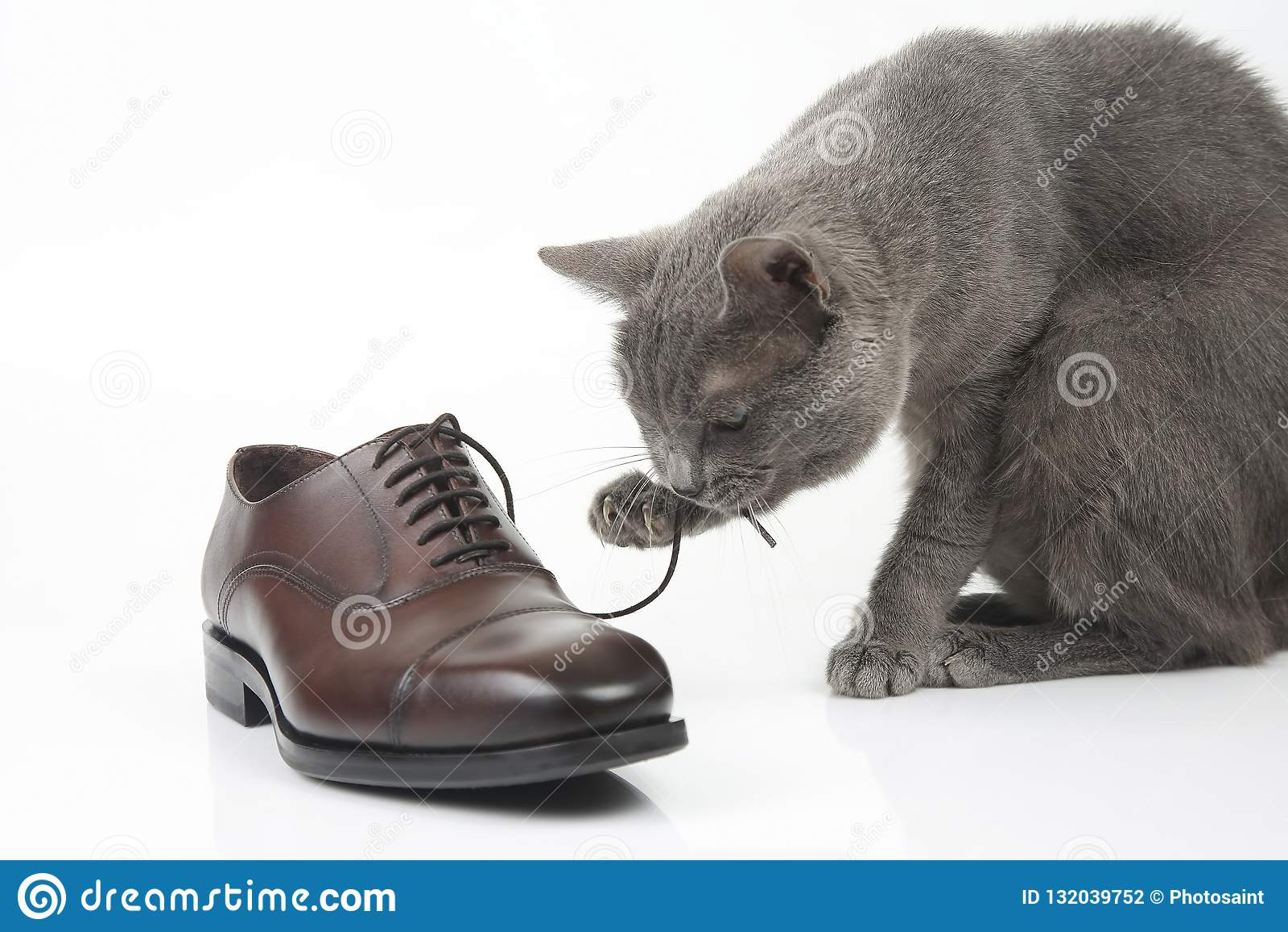 Le chat gris joue avec une chaussure de brun du ` s d hommes de dentelle de classique sur le CCB blanc