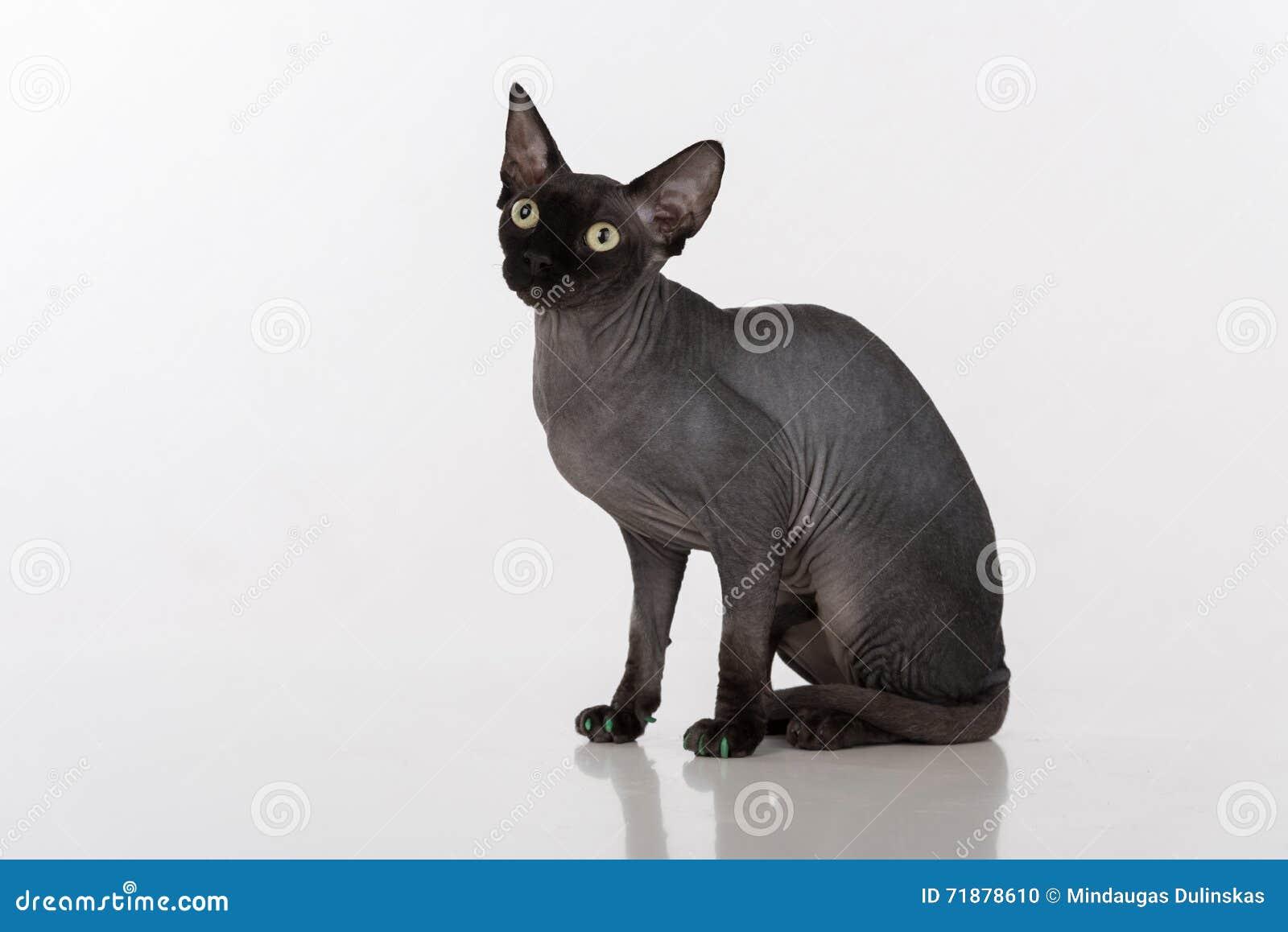 Super Le Chat Noir Curieux De Sphynx Avec Les Clous Verts Se Repose D  MY36