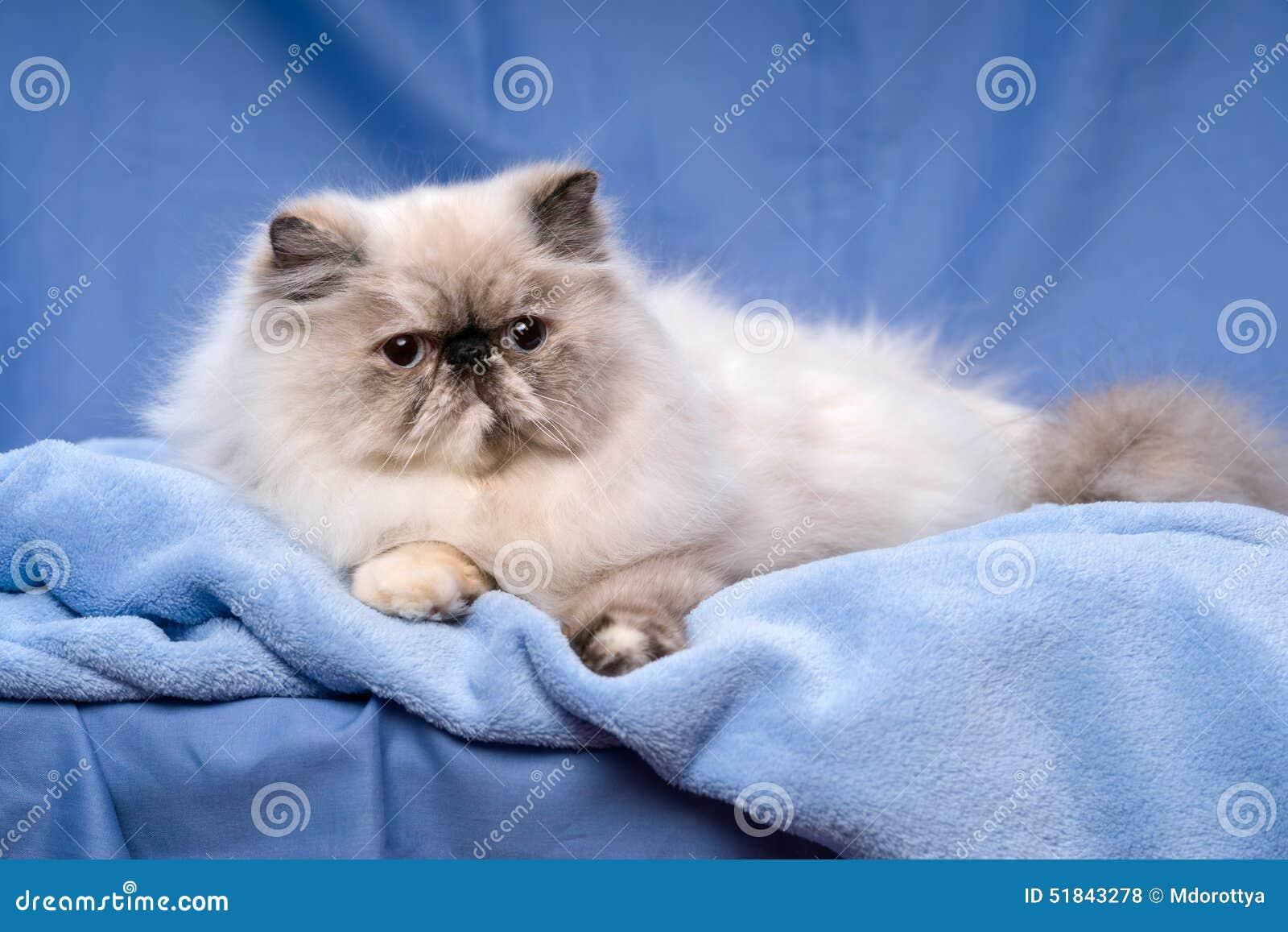 le chat persan mignon de colorpoint de tortie se trouve sur un fond bleu photo stock image. Black Bedroom Furniture Sets. Home Design Ideas