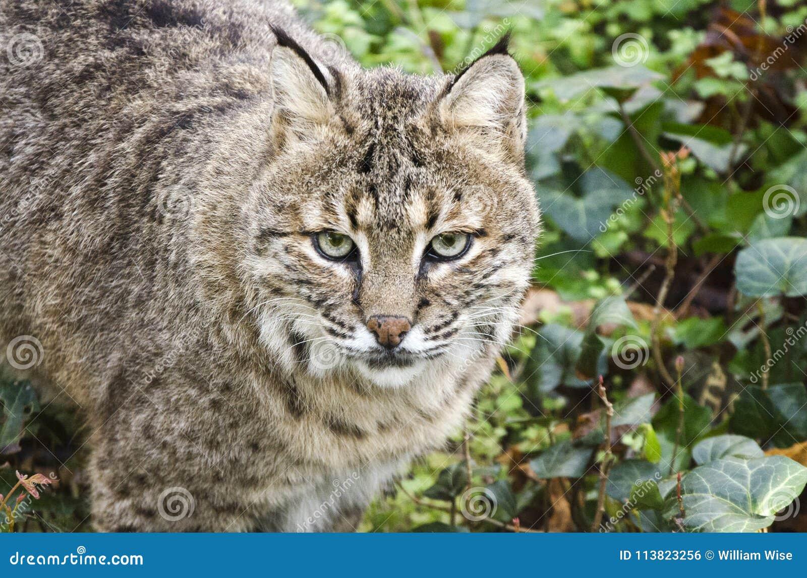 Le chat sauvage captif, soutiennent le zoo creux, Athènes la Géorgie Etats-Unis