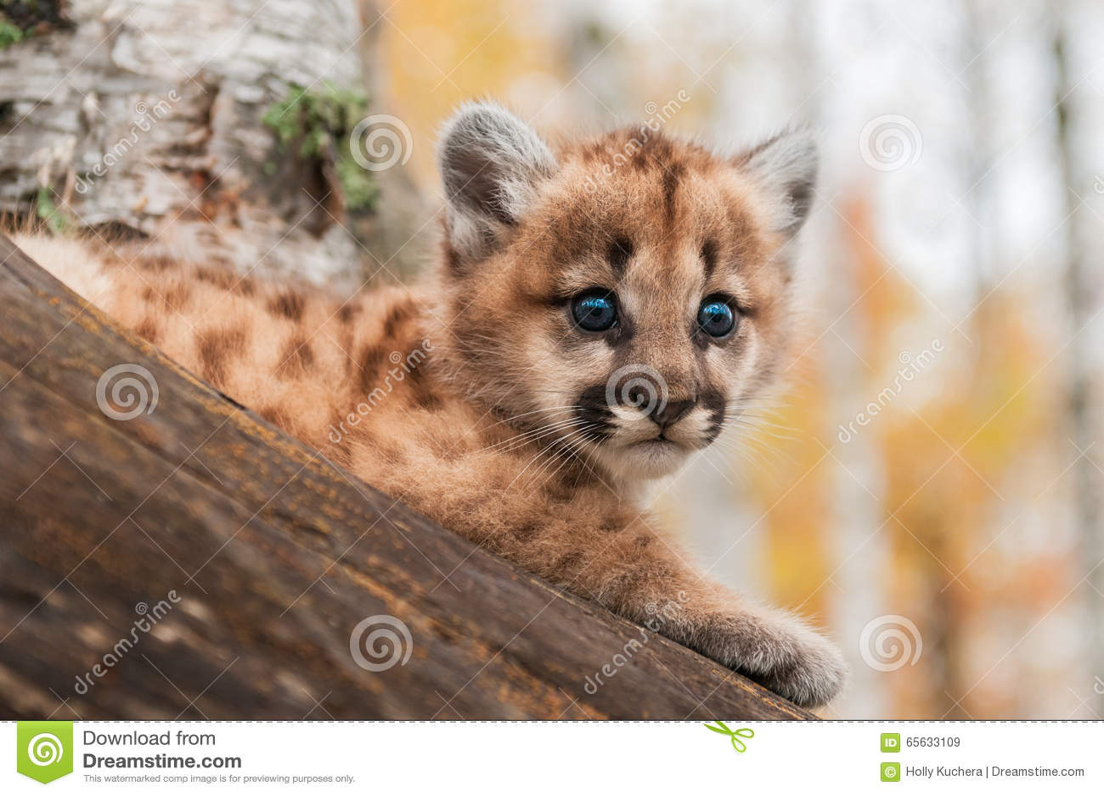 Le chaton femelle de puma (concolor de puma) regarde