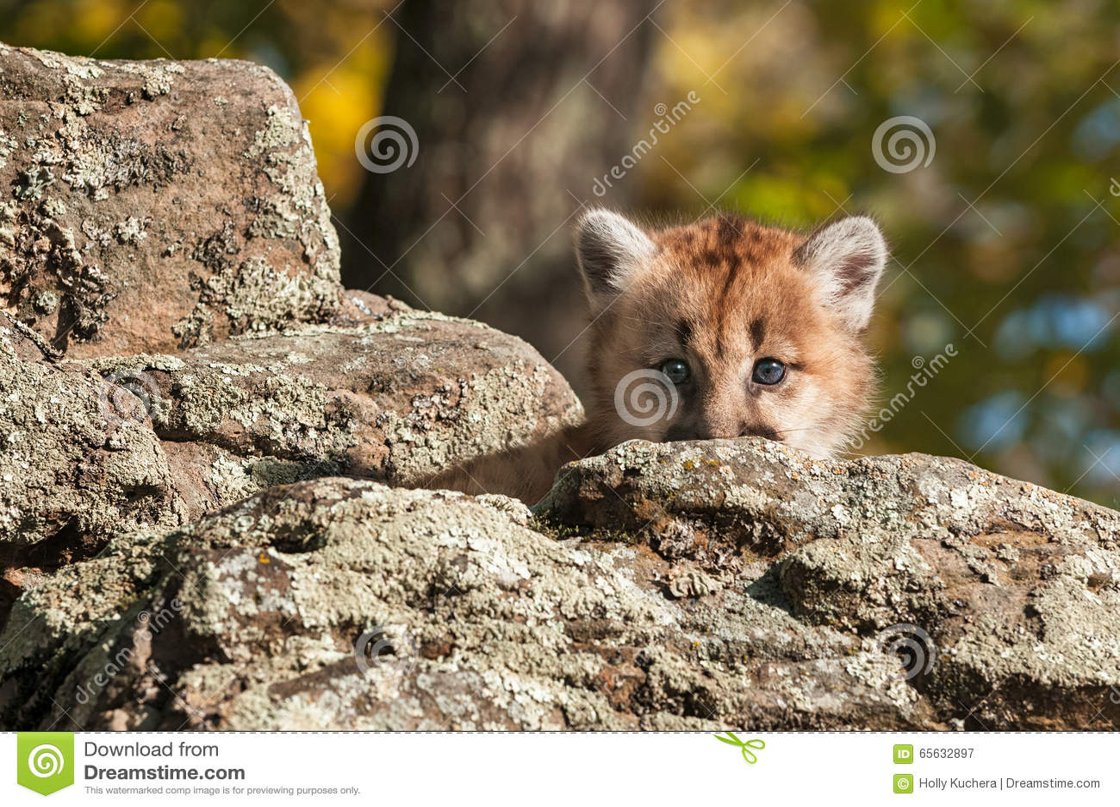 Le chaton femelle de puma (concolor de puma) regarde par derrière la roche