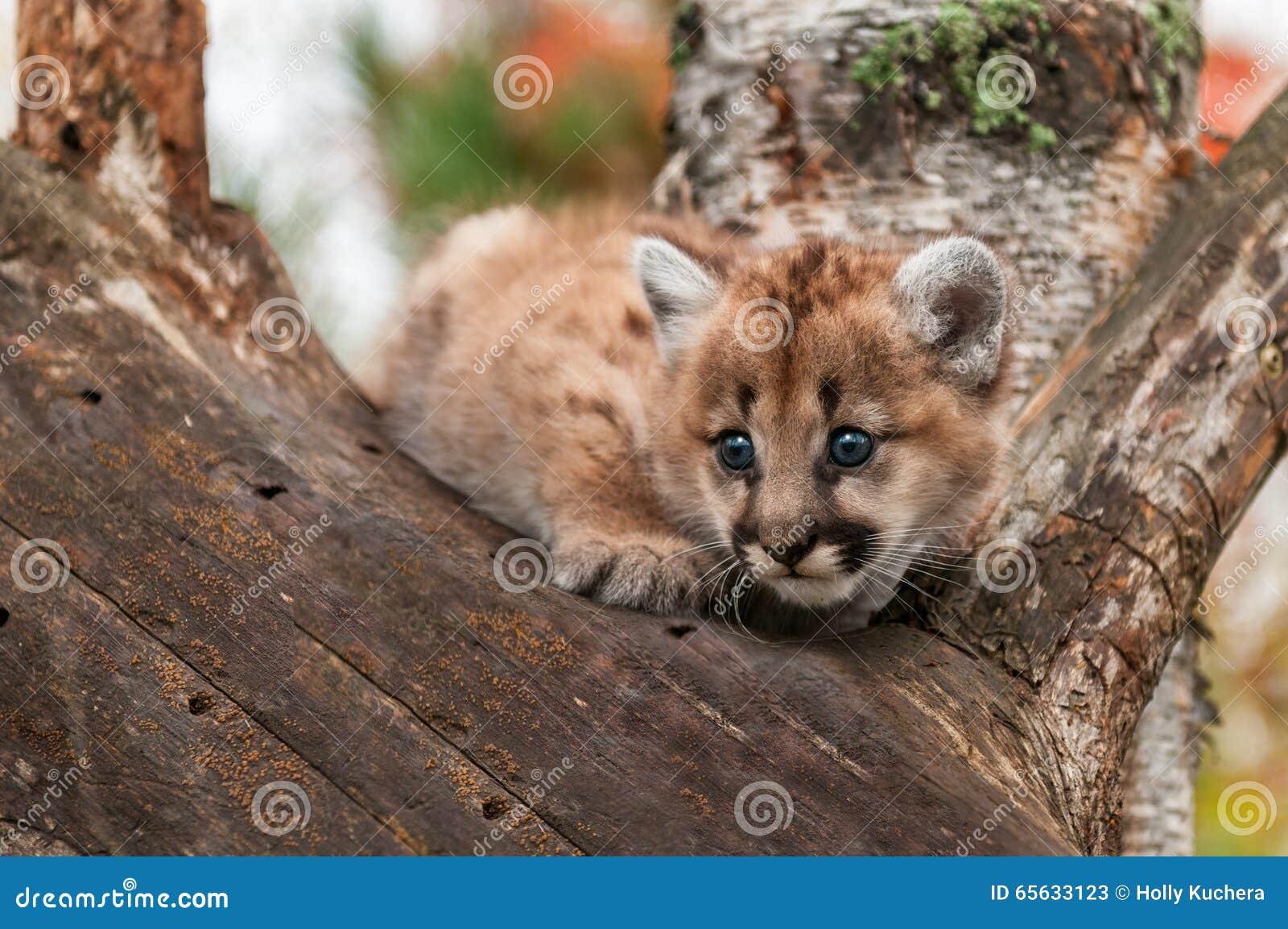 Le chaton femelle de puma (concolor de puma) se tapit dans l arbre