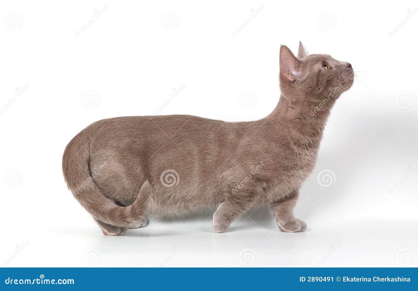 Le chaton munchkin image stock image du cuddly favori 2890491 - Chat munchkin prix ...