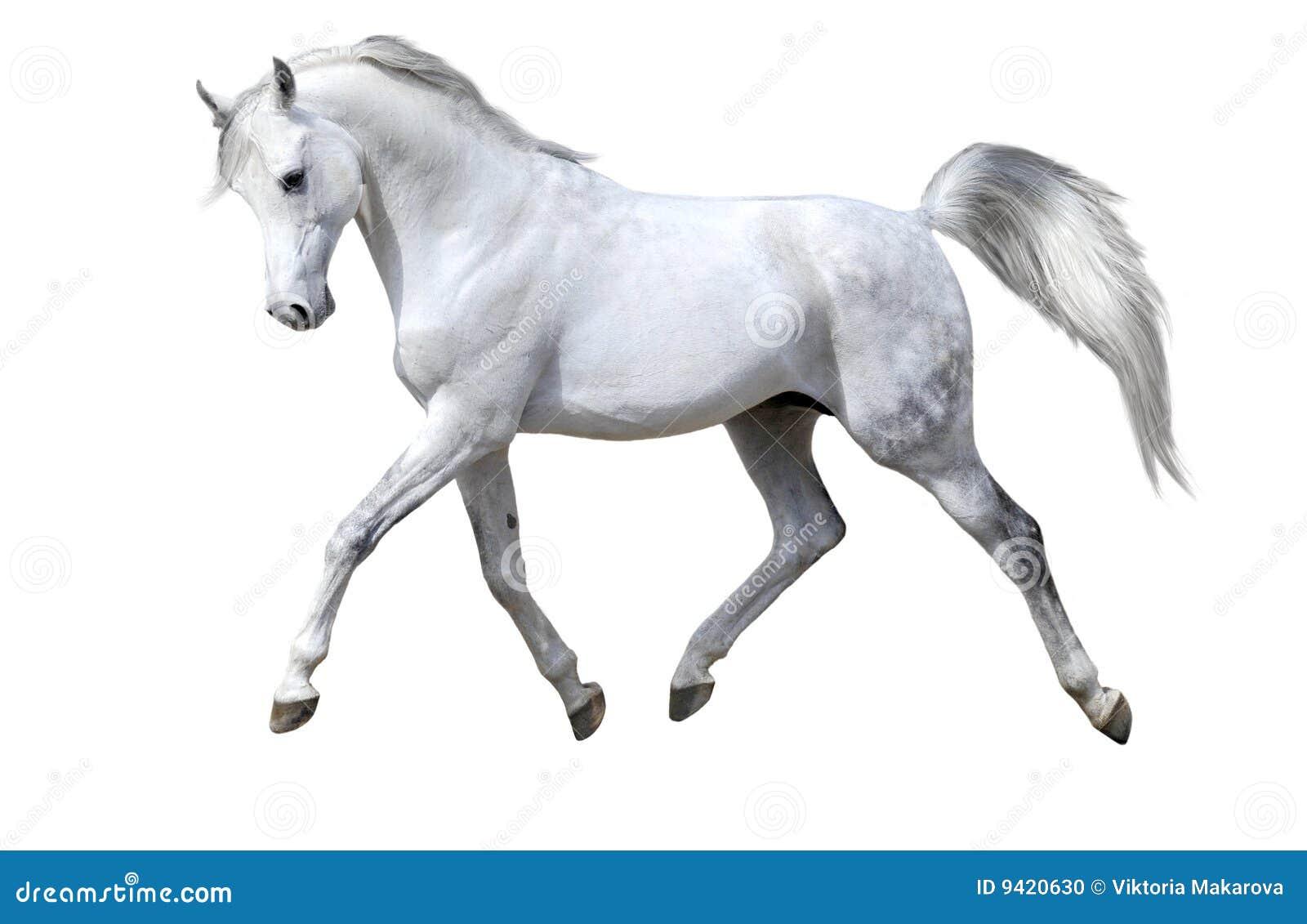 Le cheval d isolement trotte blanc