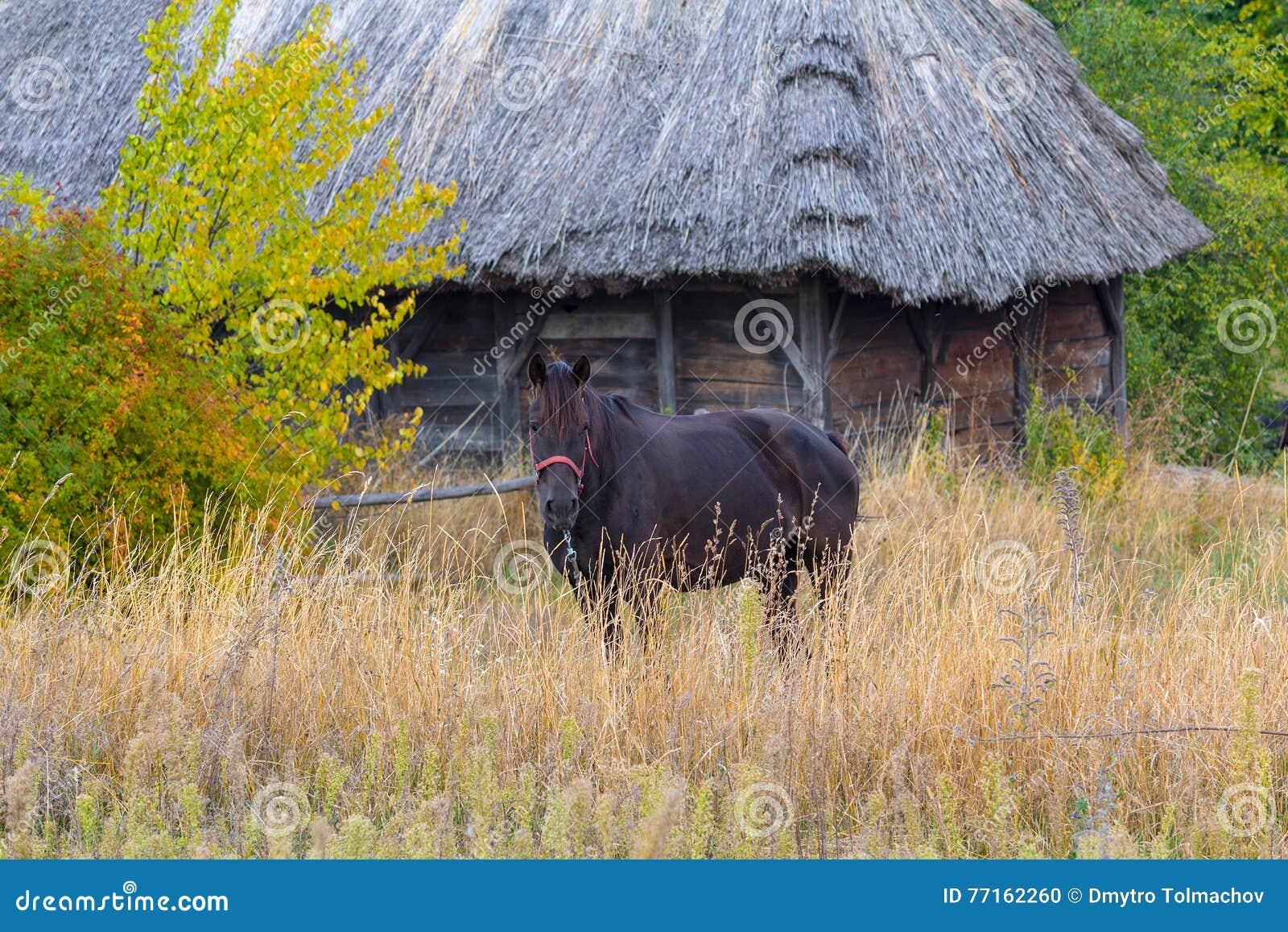 Le cheval frôle sur le fond du vieux paysan d Ukrainien de maison