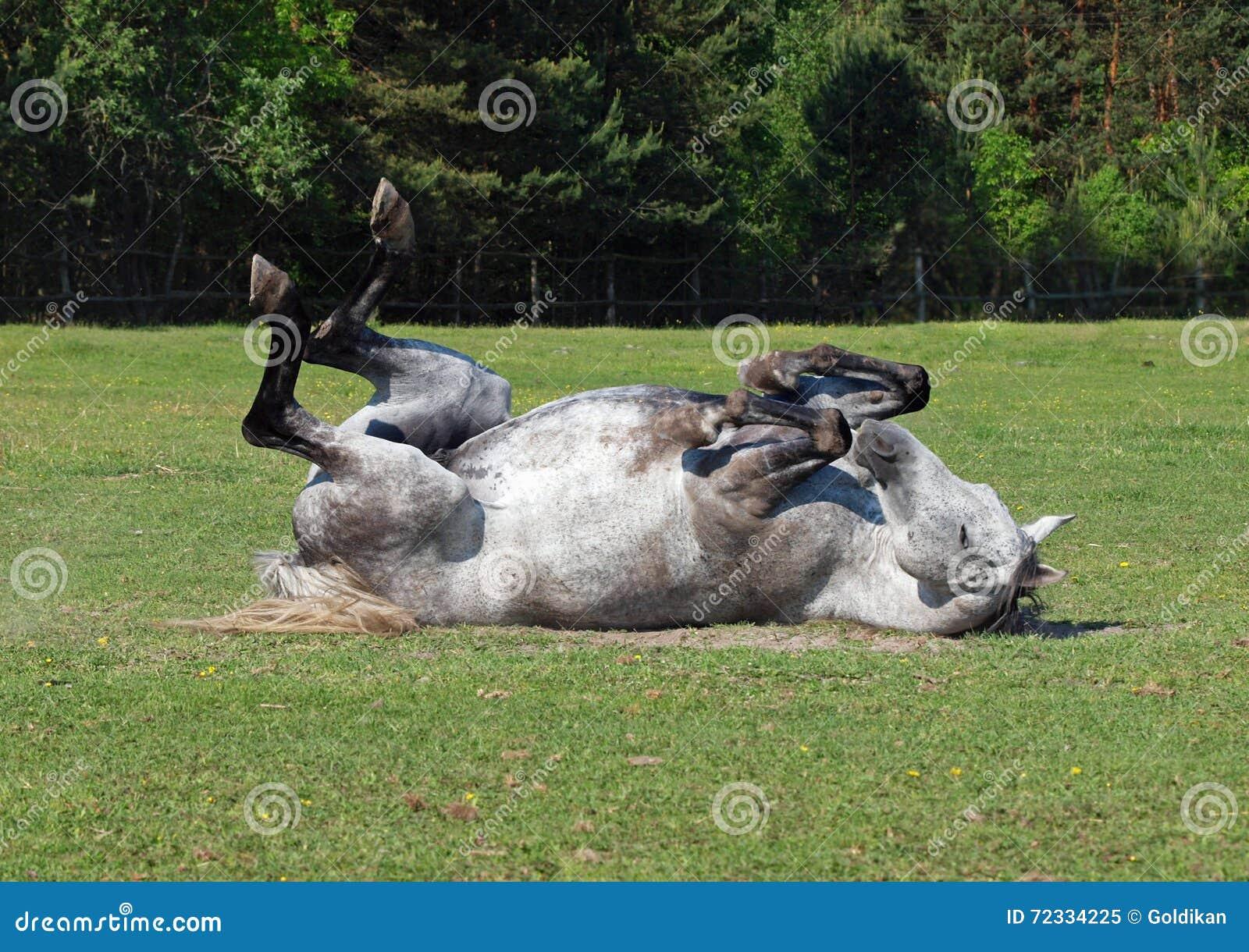 Le cheval gris roule sur une herbe