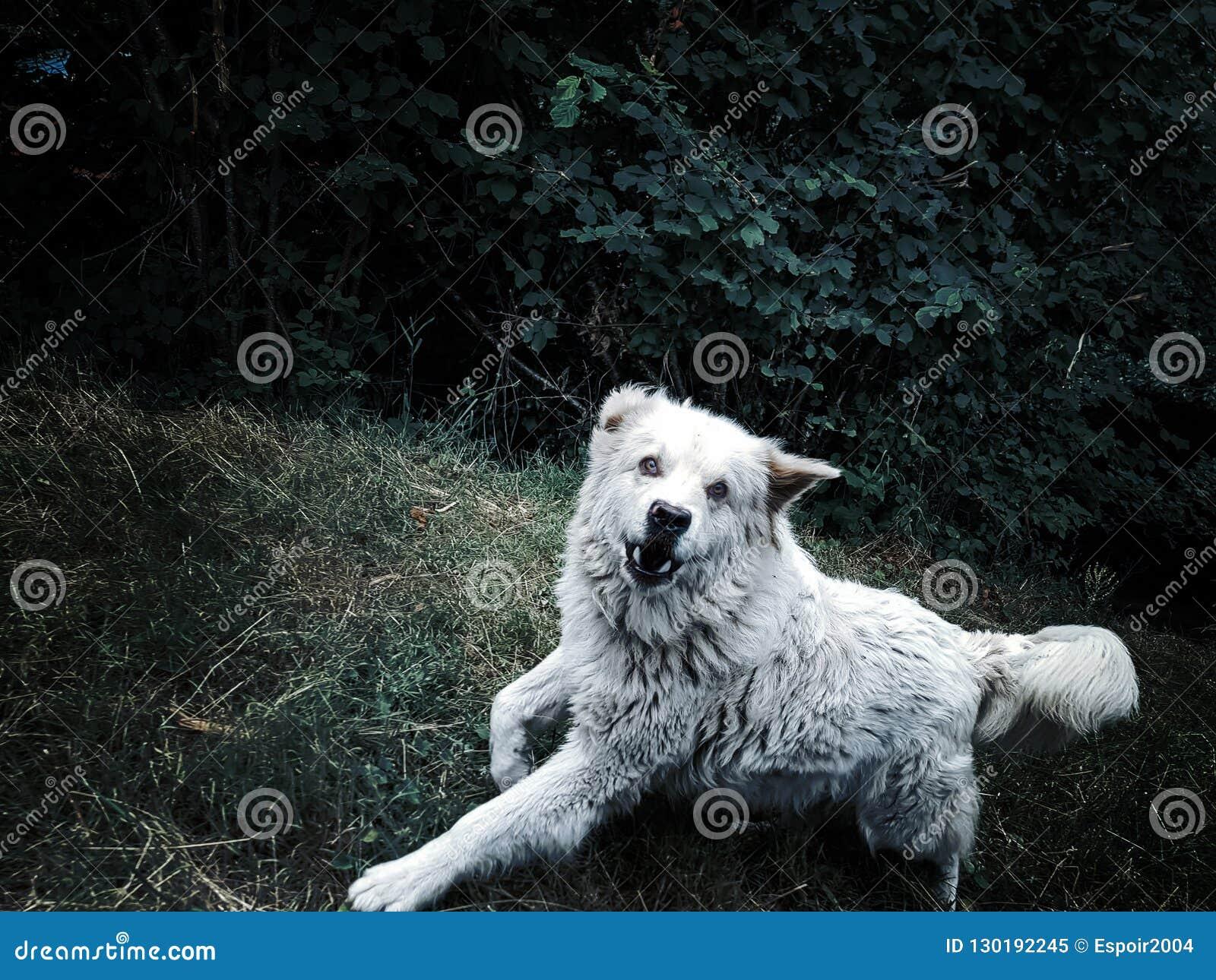 Le chien agressif fâché découvre ses dents et attaques