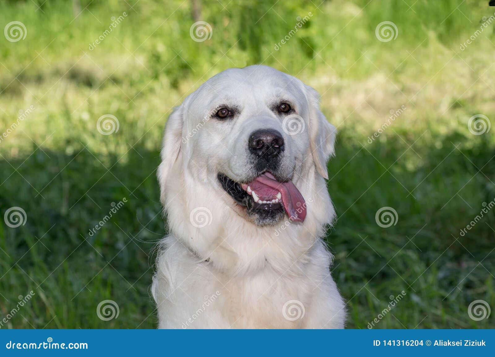 Le chien blanc de labrador retriever, portrait, se repose sur le fond d herbe
