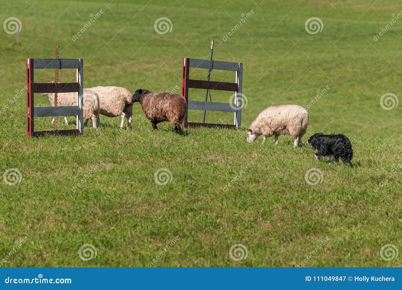 Le chien courant déplace le groupe du Bélier d Ovis de moutons par des barrières