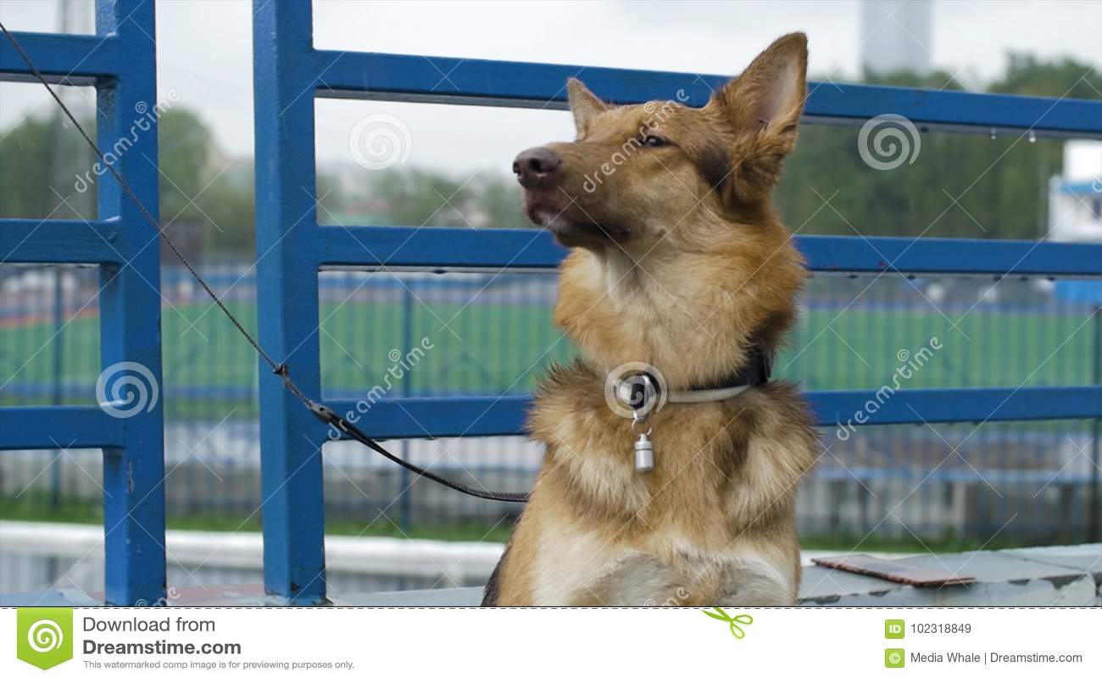 Le chien dans le village se repose attaché à une chaîne Le chien attaché se repose à la barrière Chien attendant son maître