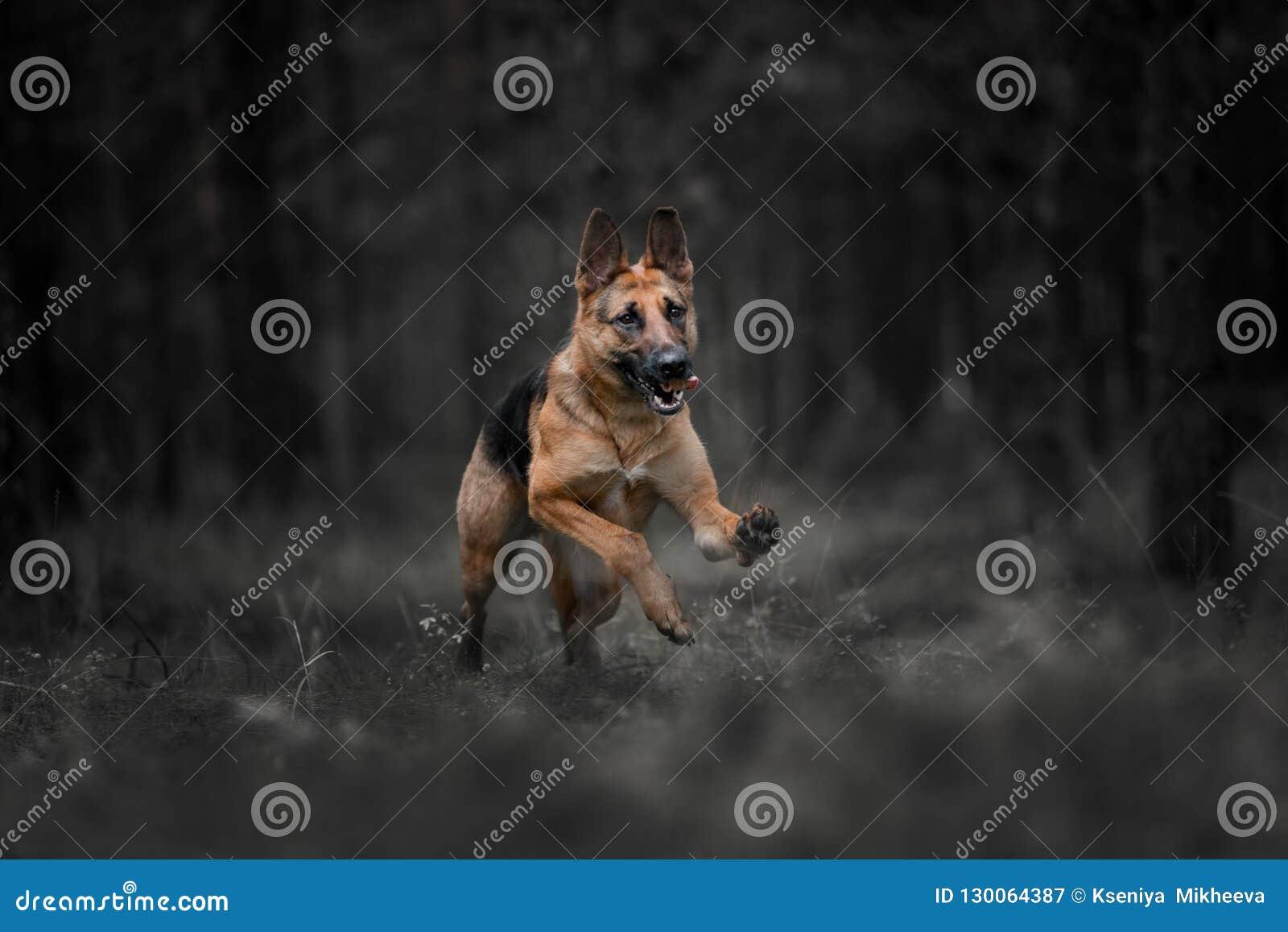 Le chien de berger allemand de race fonctionne dans une forêt foncée