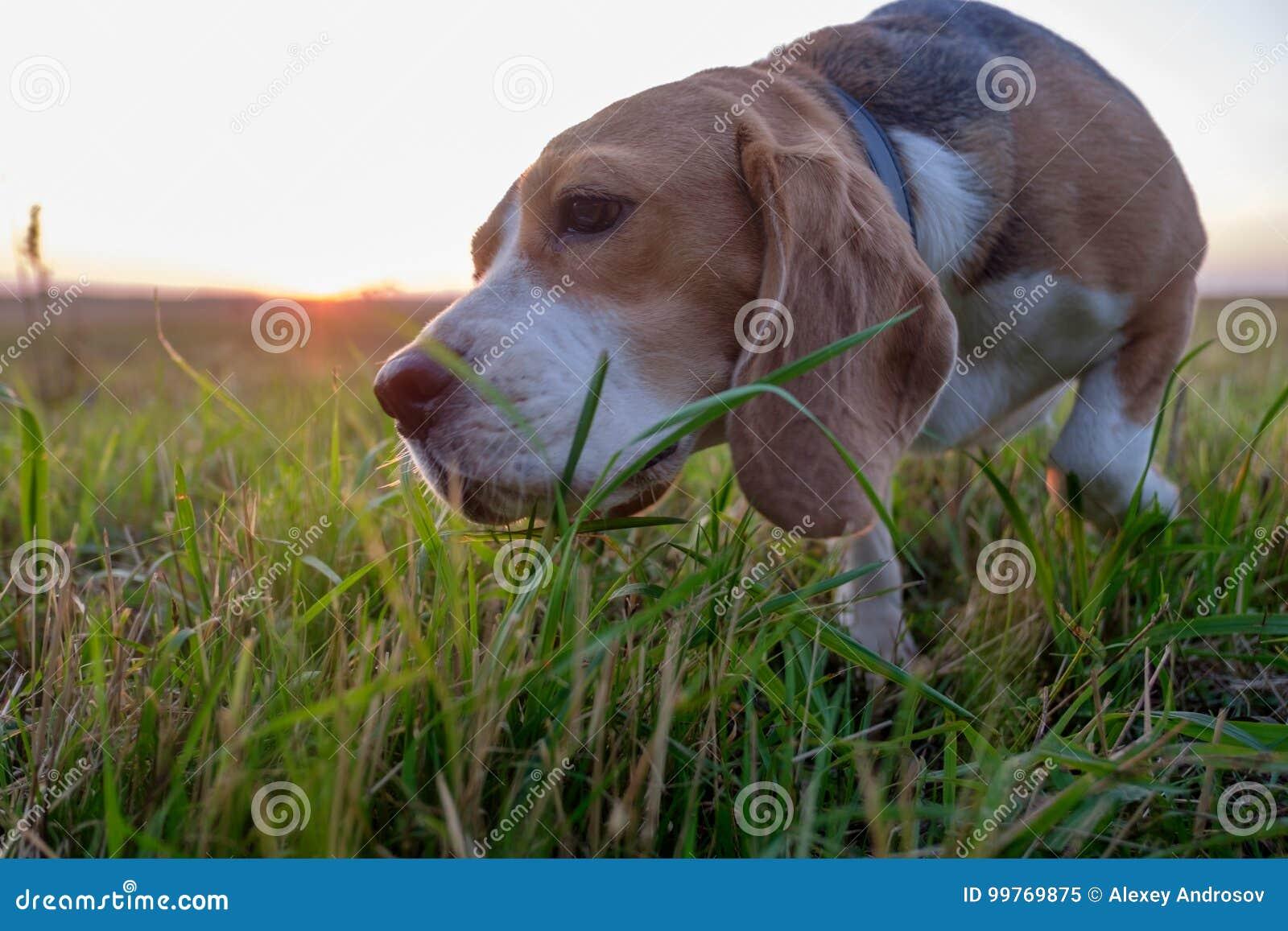 Le chien de briquet mange l herbe verte