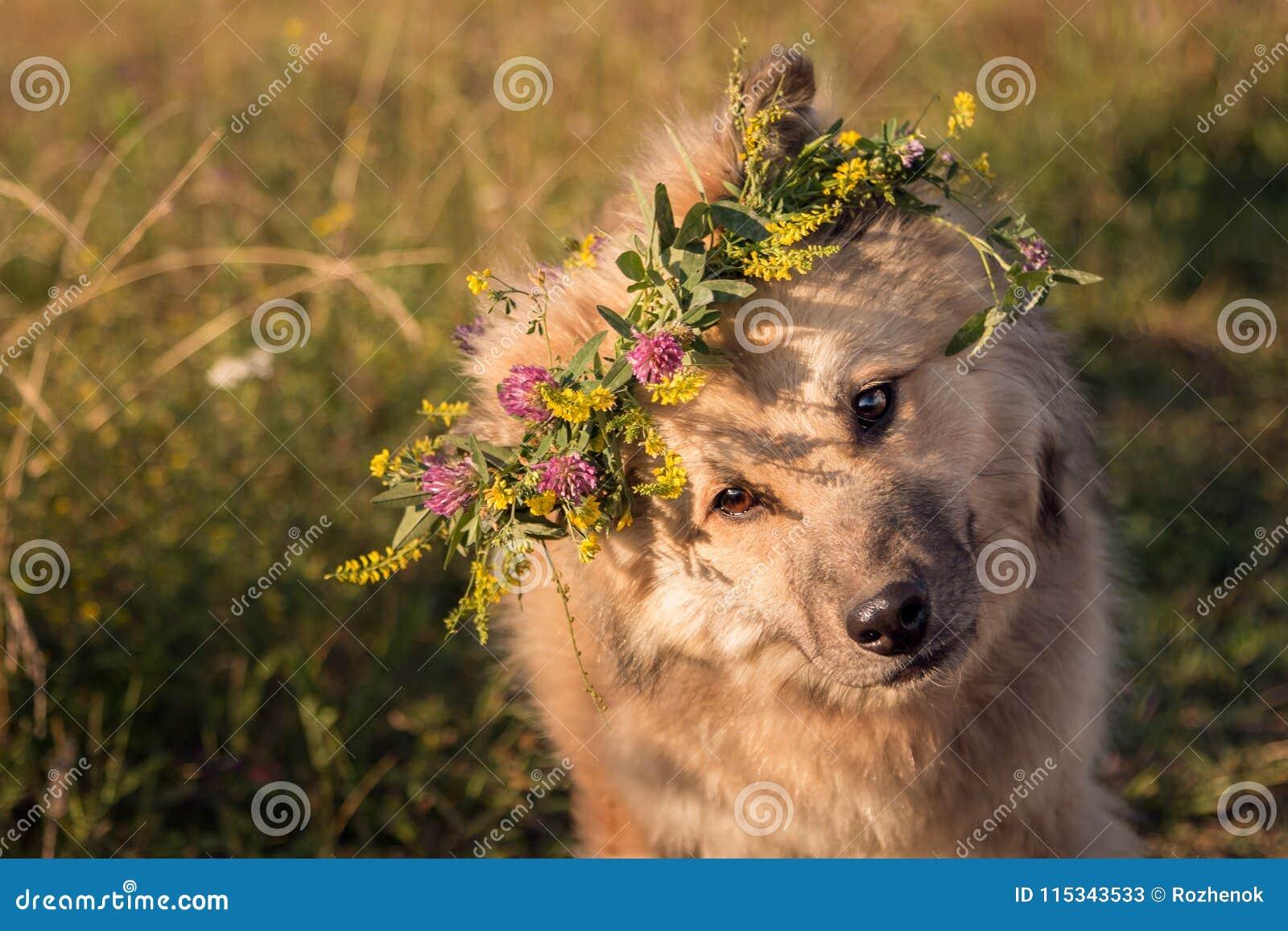 Le chien de couleur sable hirsute a plié sa tête et sembler intéressé au photographe