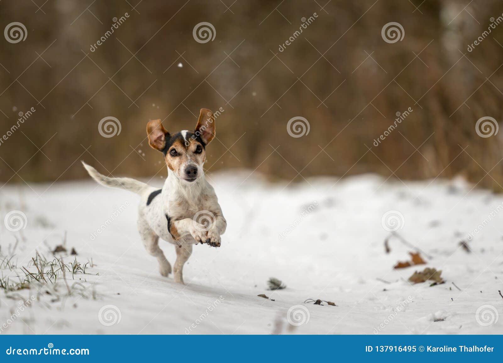 Le chien de Jack Russell Terrier emballe rapidement au-dessus d un chemin neigeux d hiver