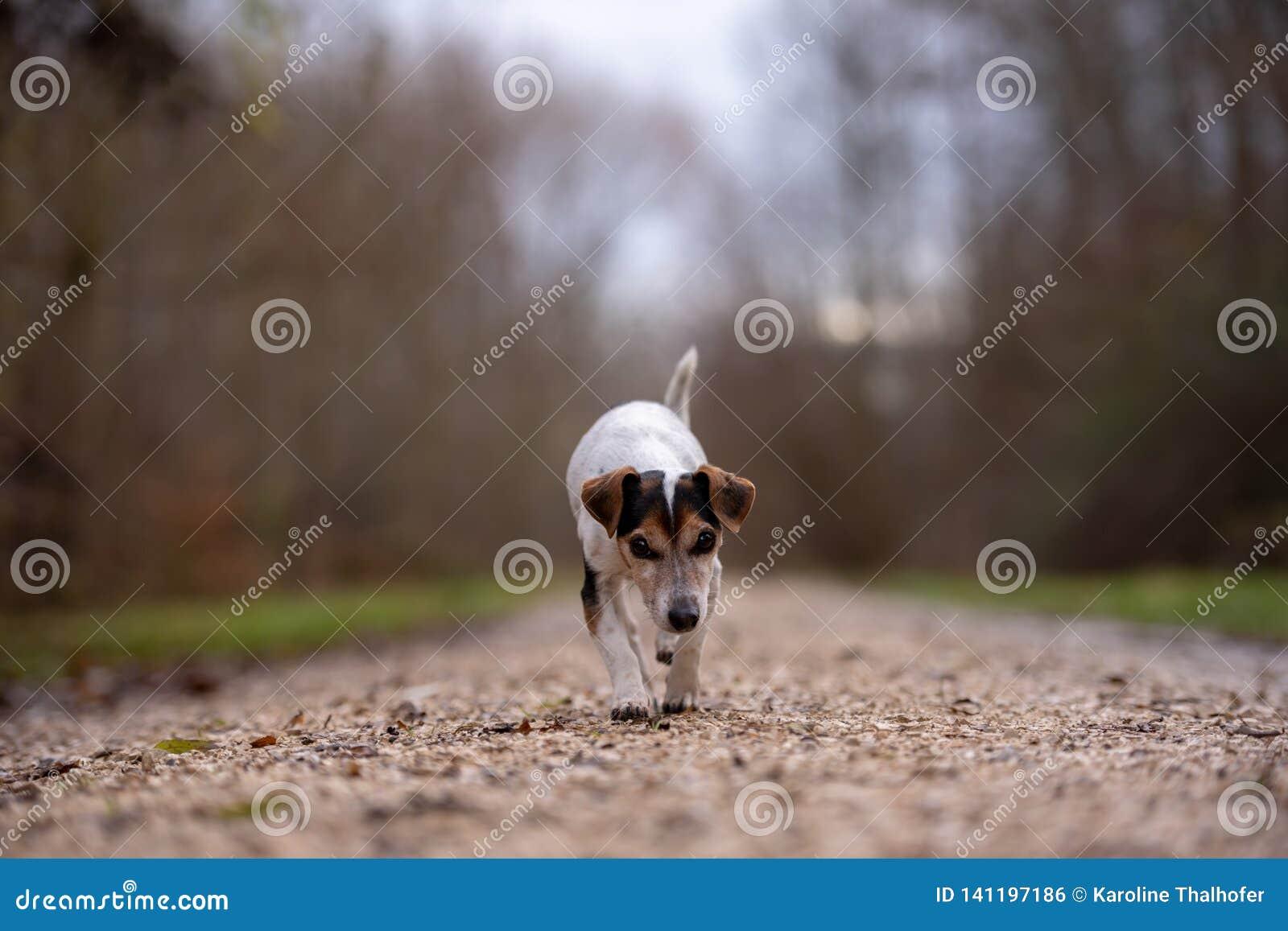 Le chien de Jack Russell Terrier fonctionne en automne sur un chemin large par la forêt