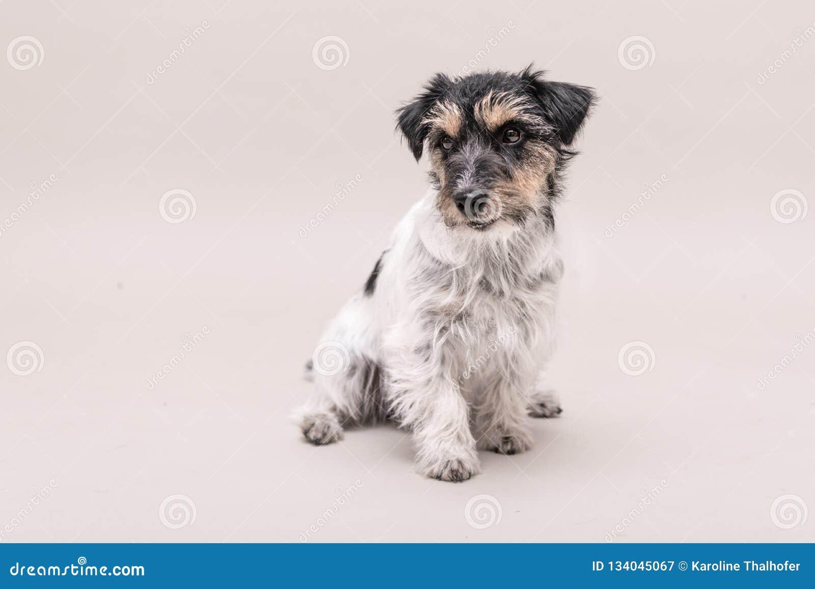 Le chien de Jack Russell Terrier se repose et d isolement sur blanc 3 années
