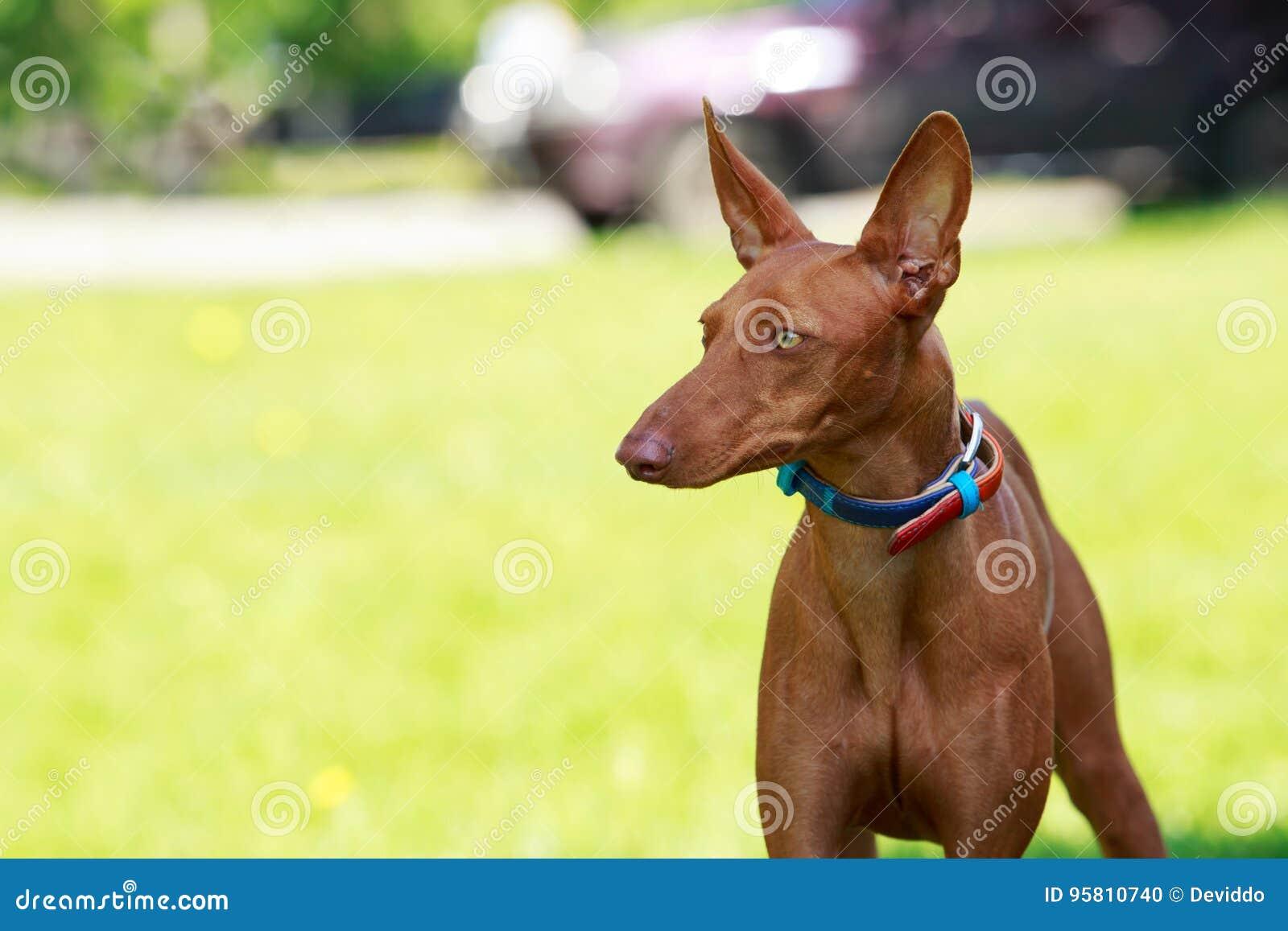 Le chien de pharaon