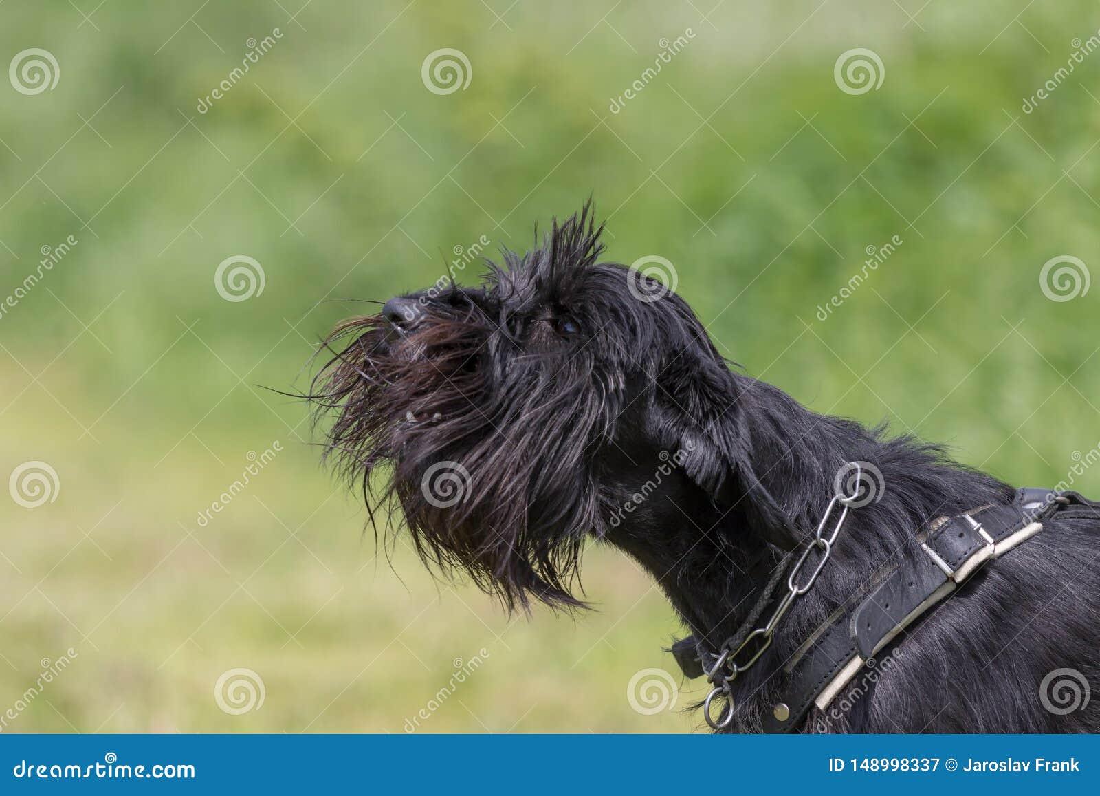 Le chien de Schnauzer aboie