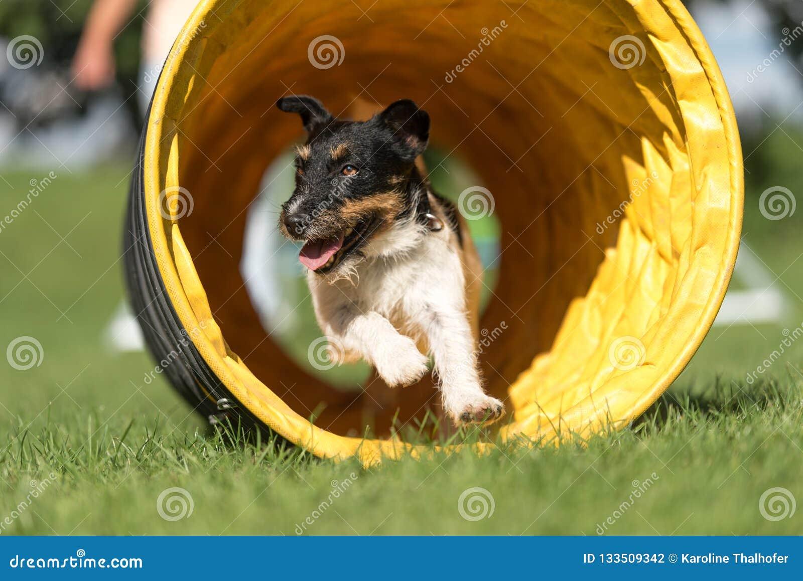 Le chien fonctionne par un tunnel d agilité Chien terrier de Jack Russell