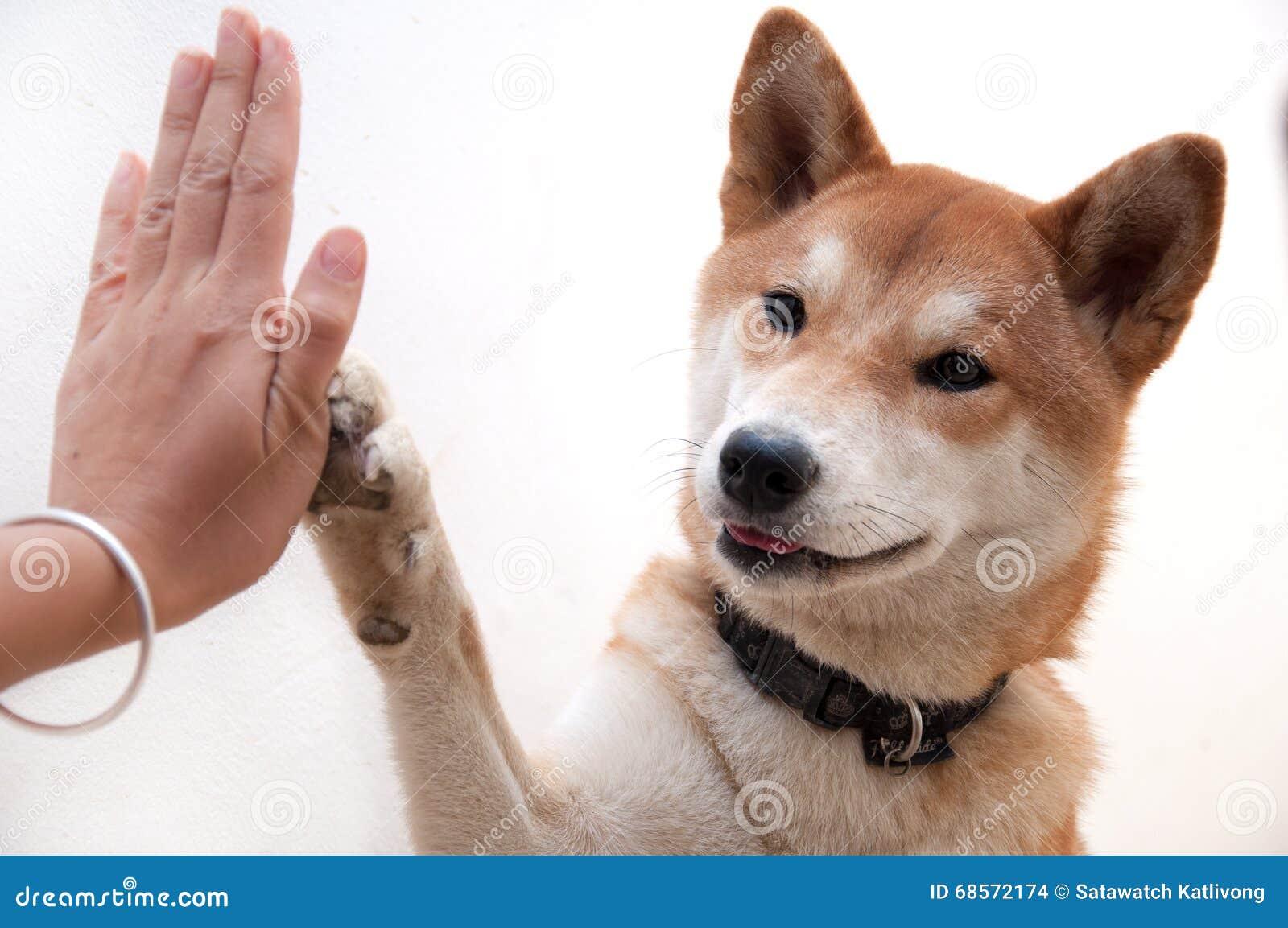 le chien japonais mignon donnent salut cinq pour le symbole de salutation d 39 ami photo stock. Black Bedroom Furniture Sets. Home Design Ideas