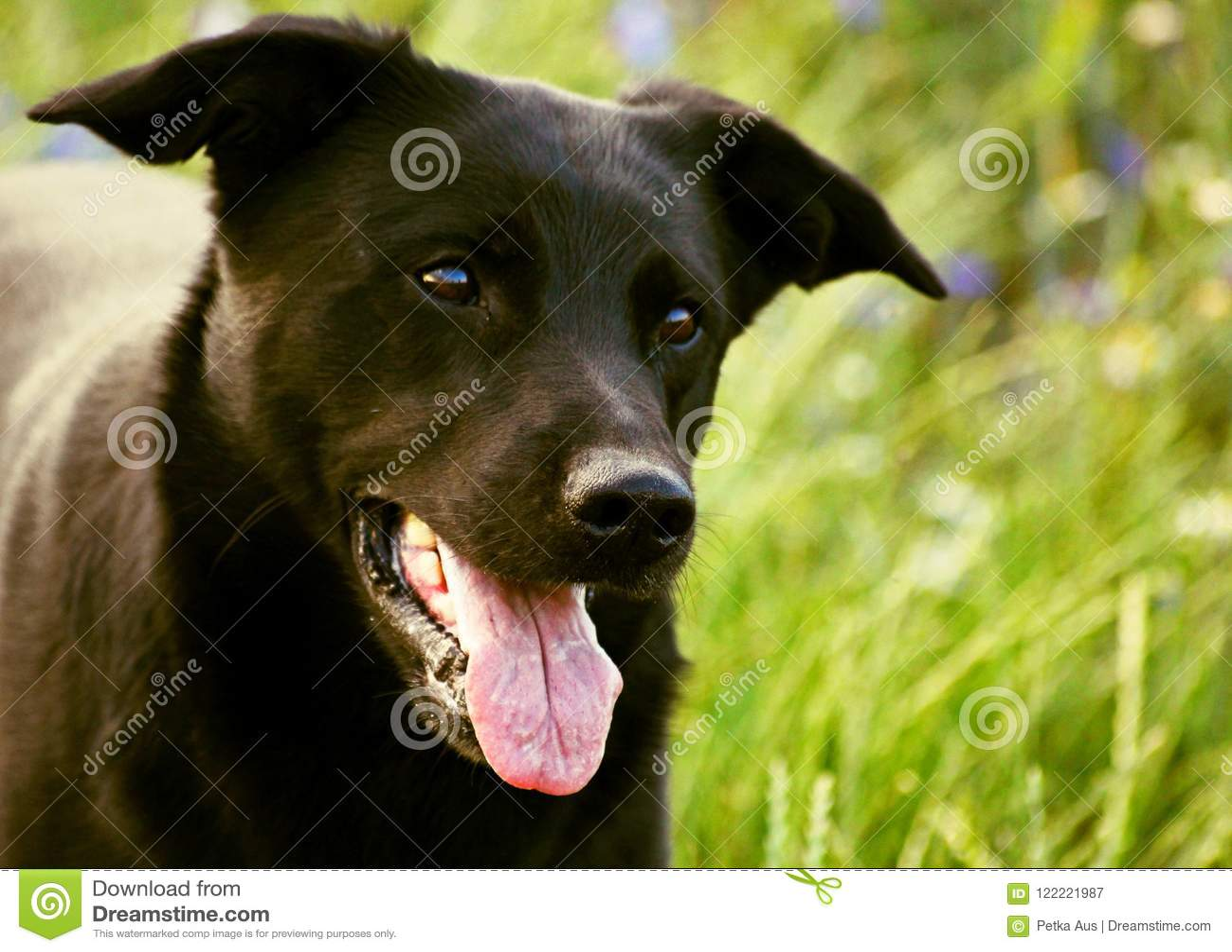Le chien noir avec la longue langue rose observe son maître