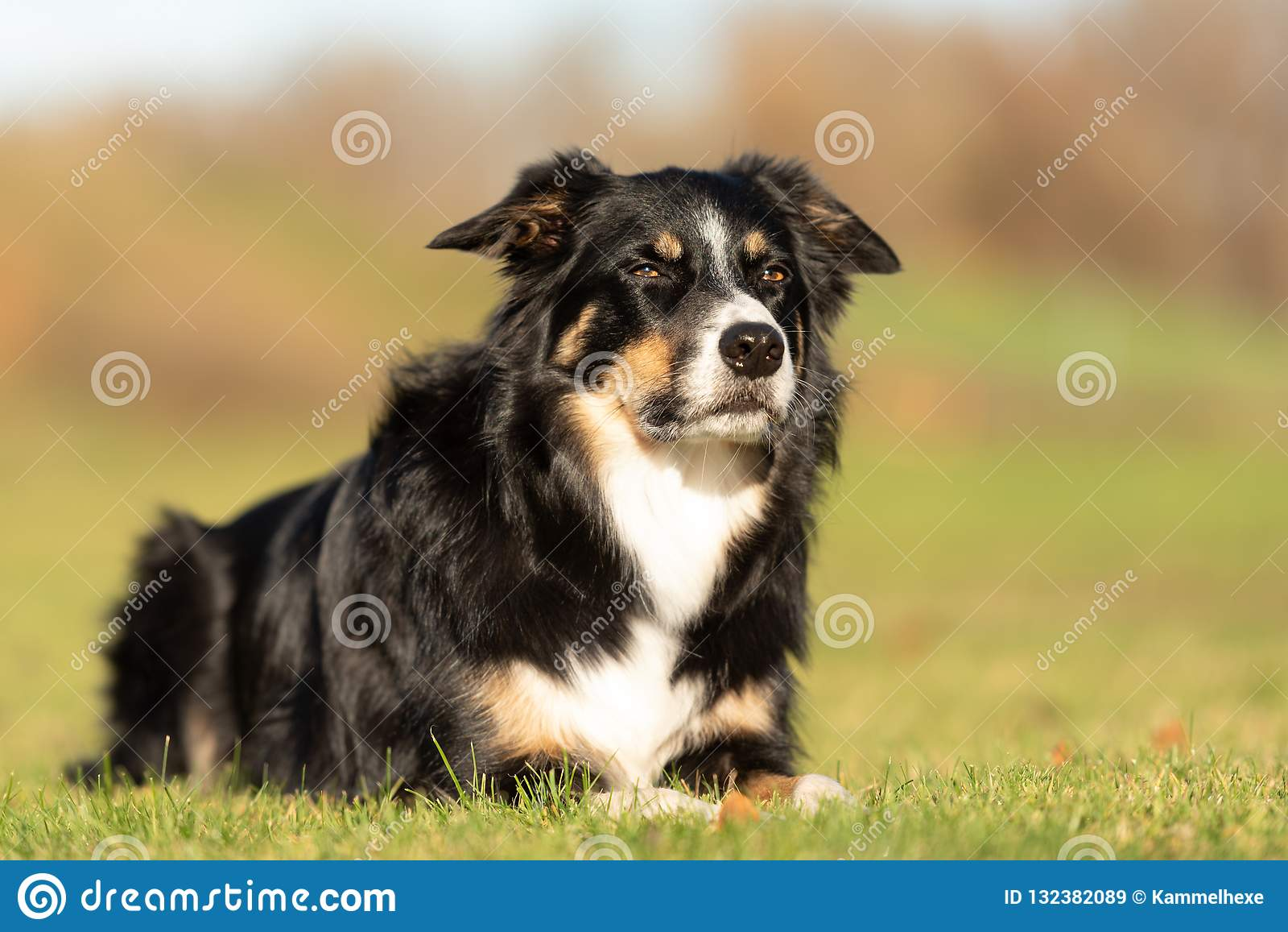 Le chien obéissant se situe dans un pré et regarde en avant