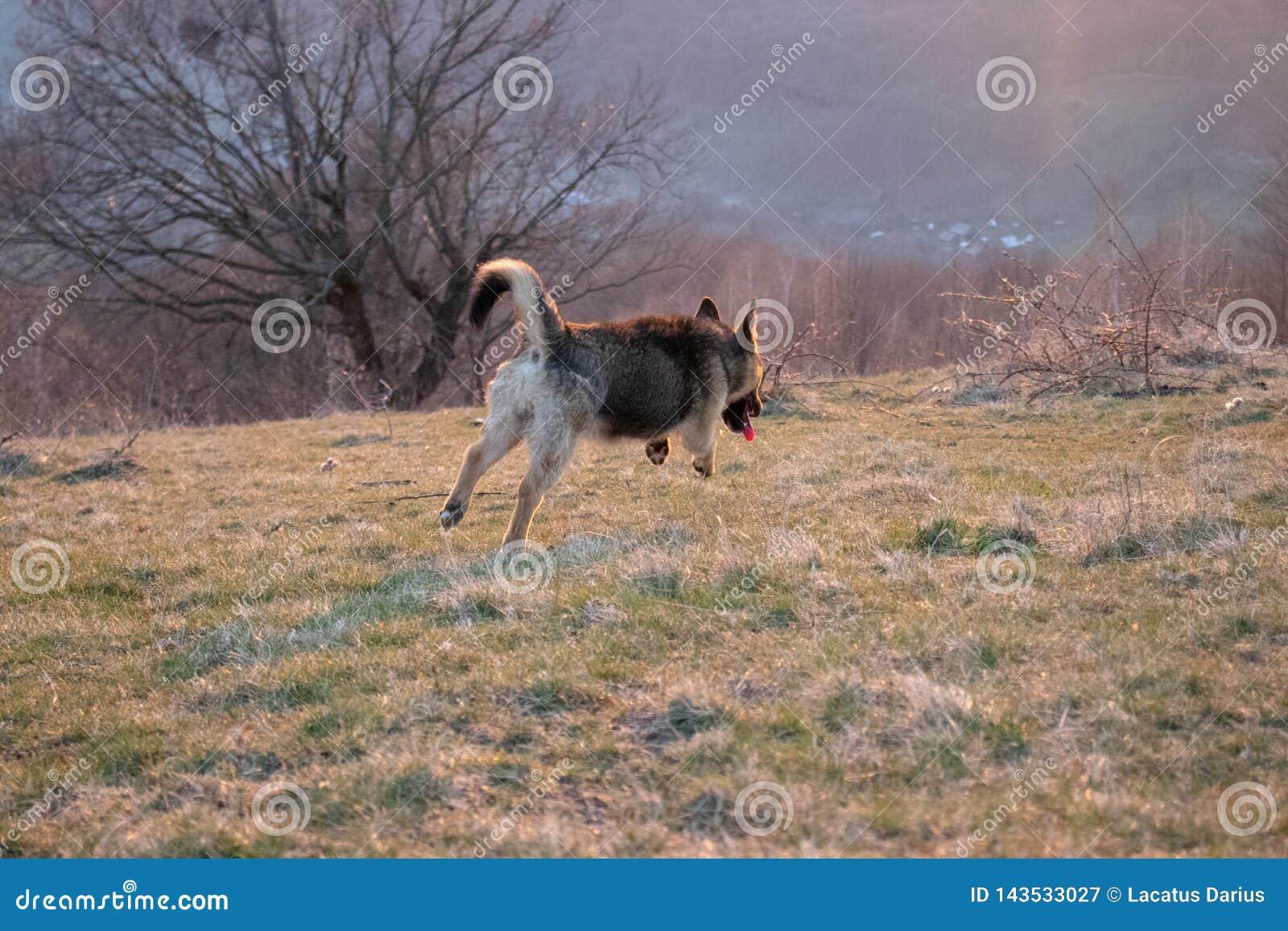 Le chien sautant comme un renard