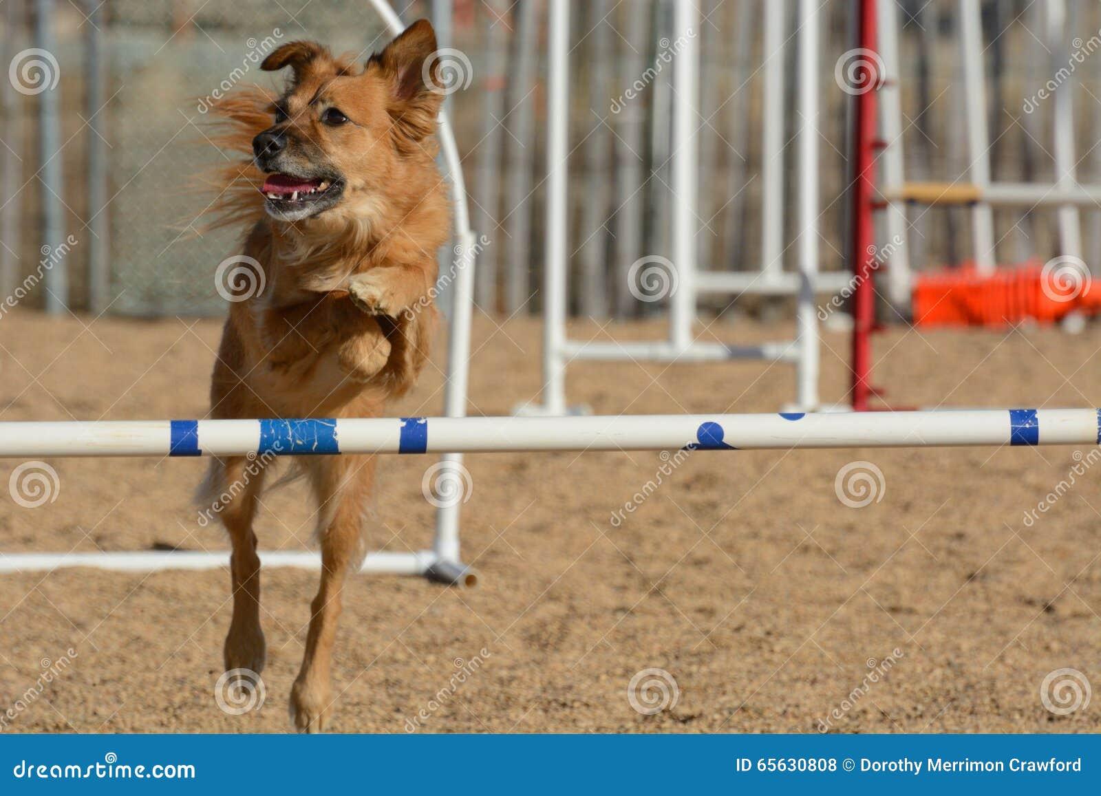 Le chien sautant sur le cours d agilité de chien