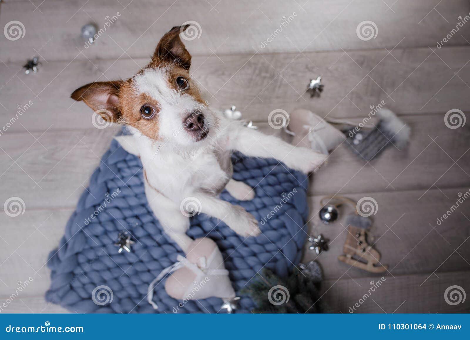 Le chien se trouve sur le plancher Jack Russell Terrier sur une couverture
