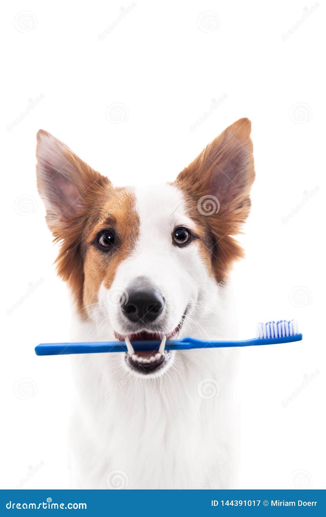 Le chien tient une brosse à dents dans la bouche, d isolement contre le blanc