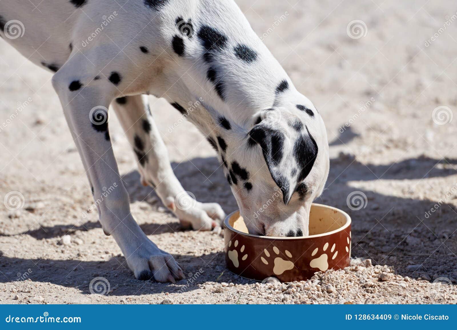 Le chiot dalmatien mange de la nourriture sèche d une cuvette