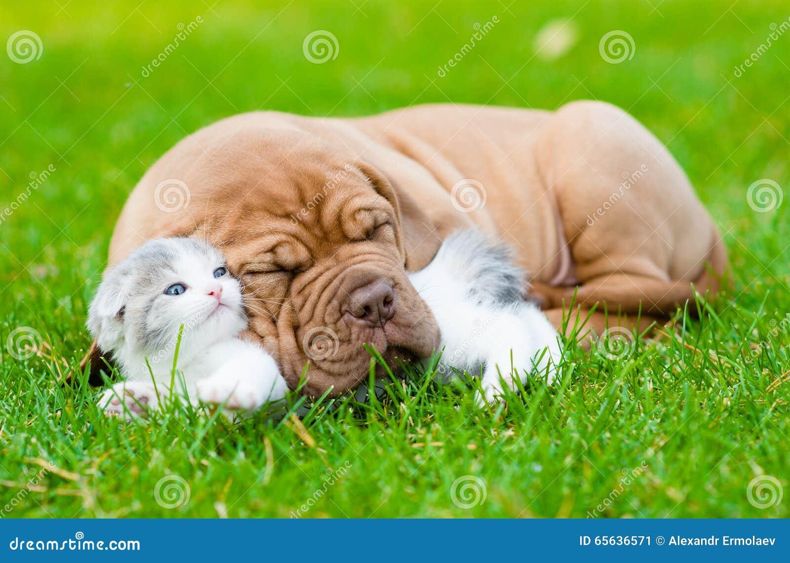 Le chiot de Bordeaux de sommeil étreint le chaton nouveau-né sur l herbe verte