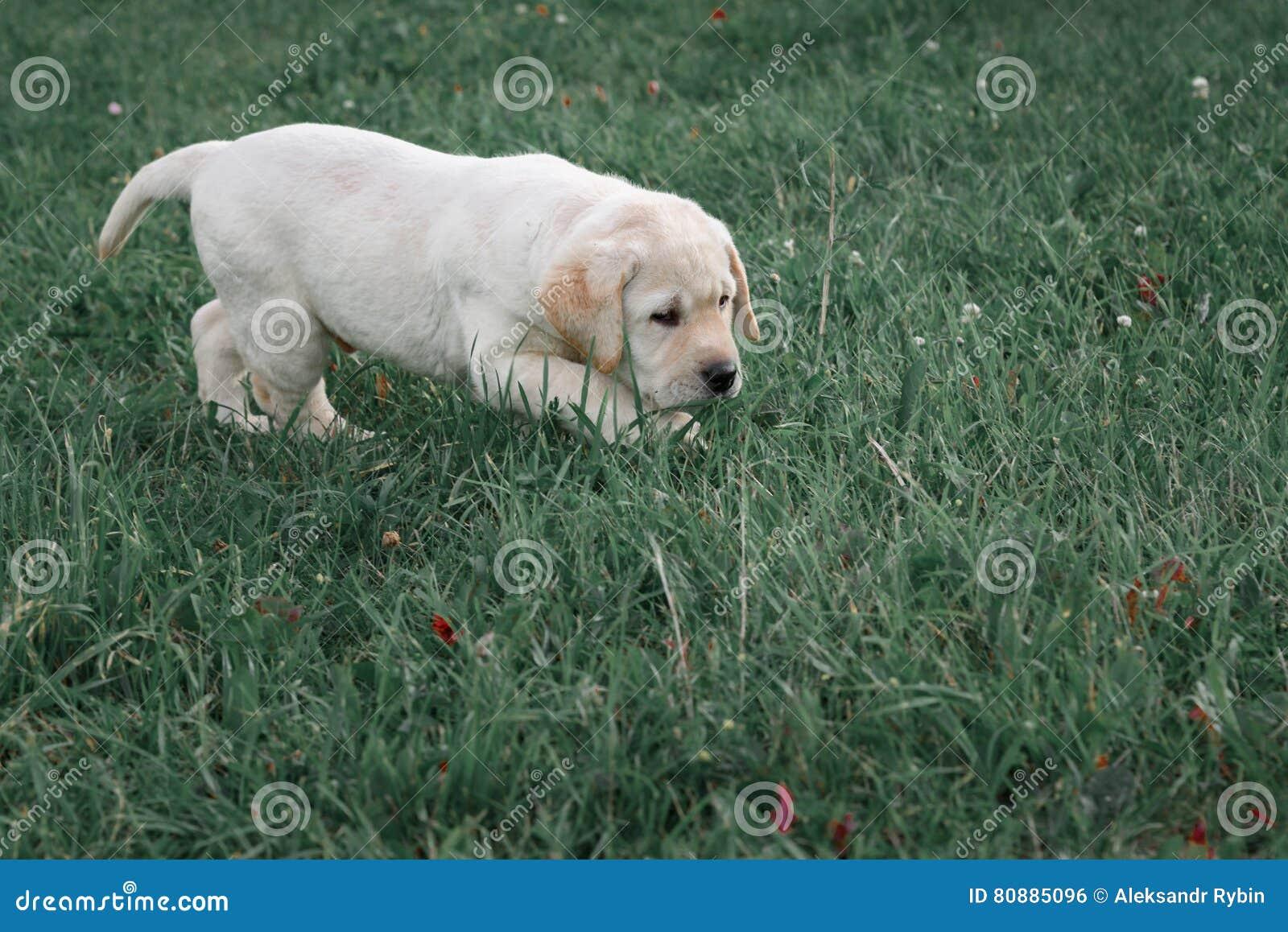 Le chiot jaune mignon labrador retriever fonctionne sur le fond de l herbe verte