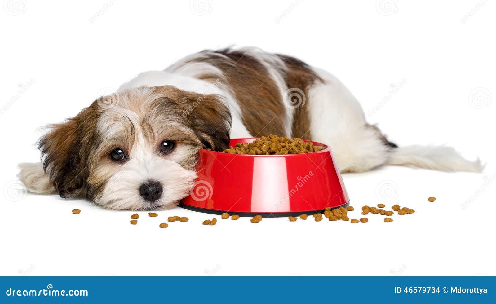 Le chiot mignon de Havanese se trouve près d un bol rouge d aliments pour chiens