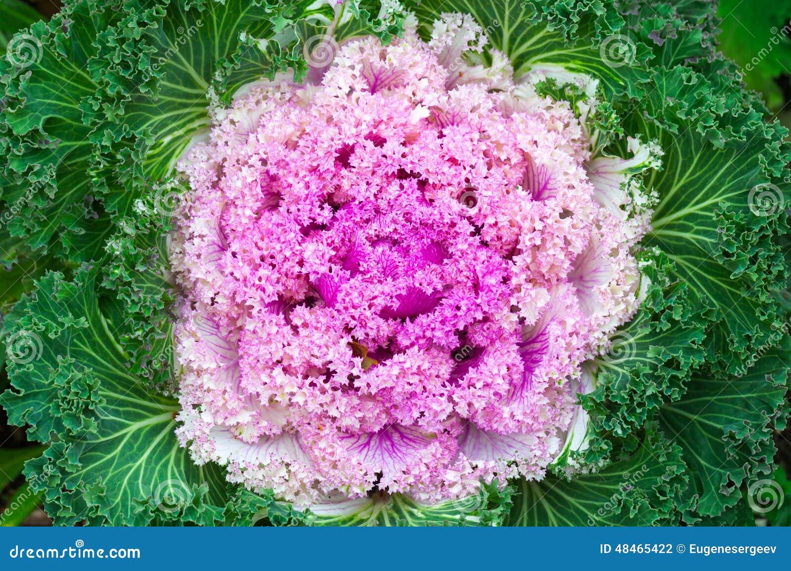 le chou décoratif rose, se ferment vers le haut de la photo photo
