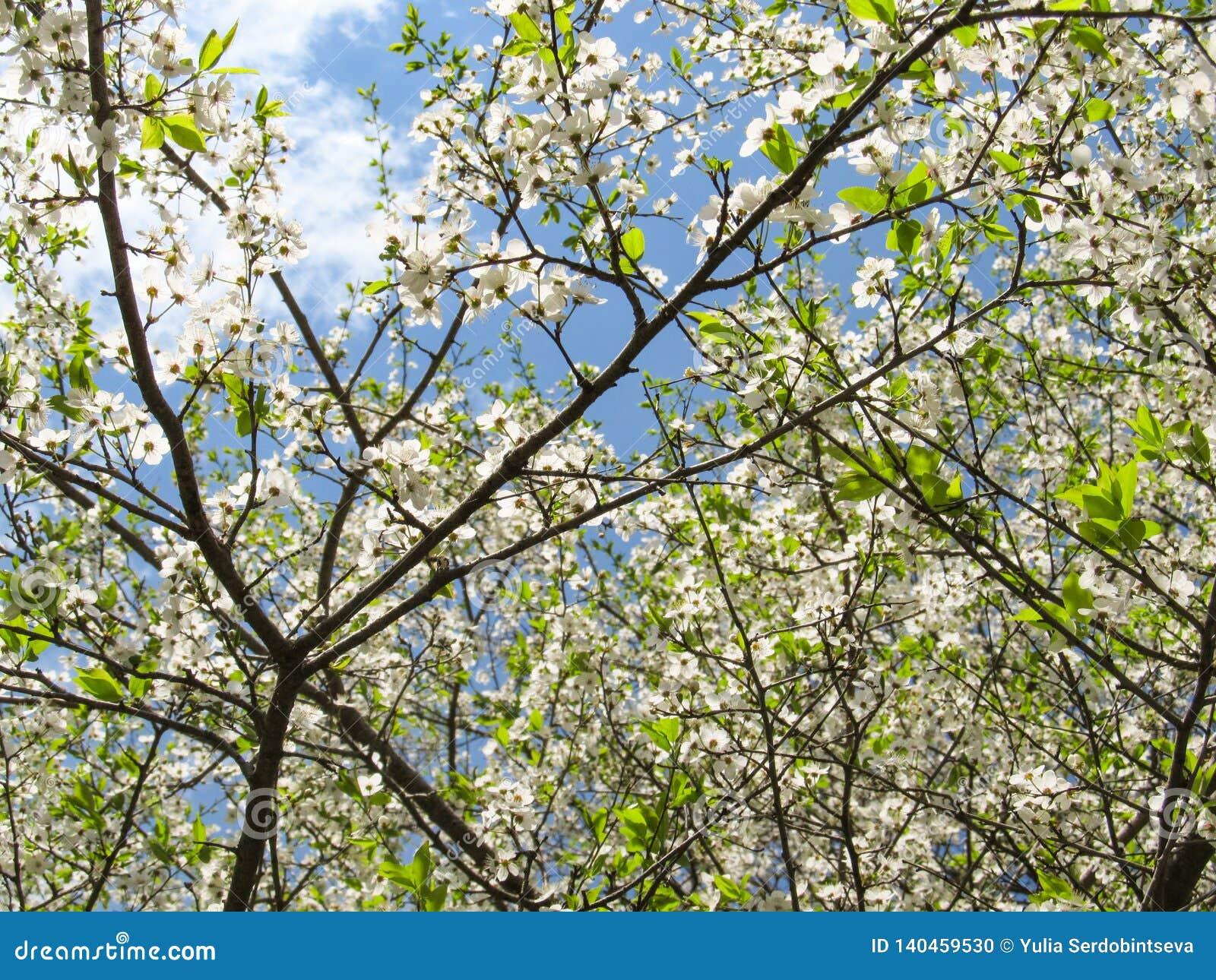 Le ciel bleu de ressort brille par les branches de beaux arbres blancs fleurissants de tsyetov