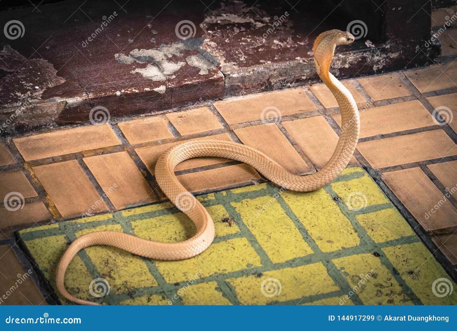 Le cobra a répandu le capot