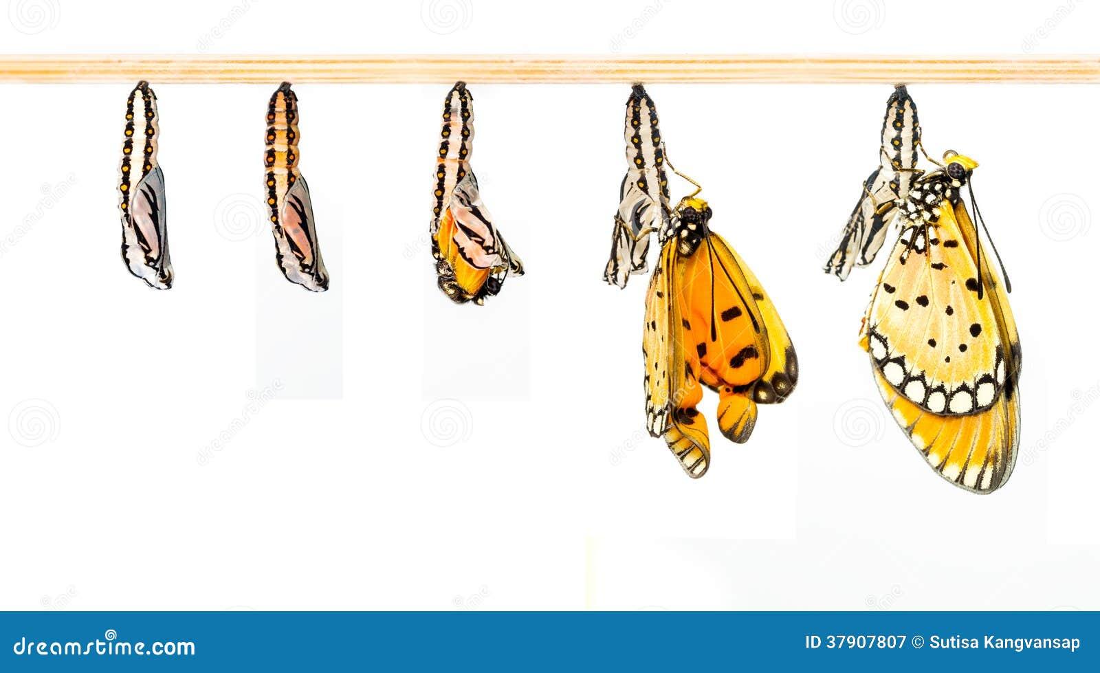 le cocon m r transforment au papillon de tawny coster. Black Bedroom Furniture Sets. Home Design Ideas