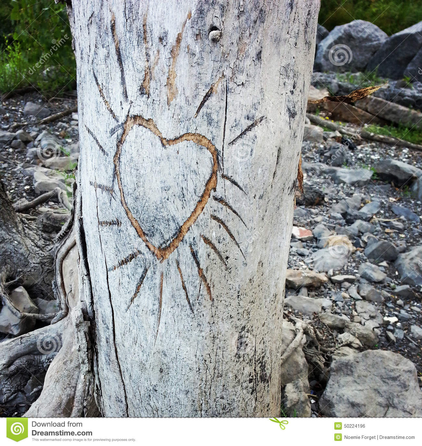 le coeur a d coup dans l 39 corce d 39 un arbre photo stock image 50224196. Black Bedroom Furniture Sets. Home Design Ideas