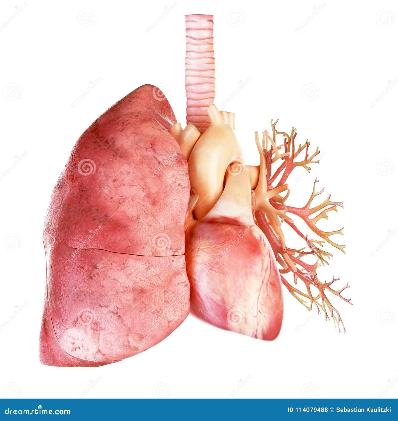 Le coeur et le poumon humains