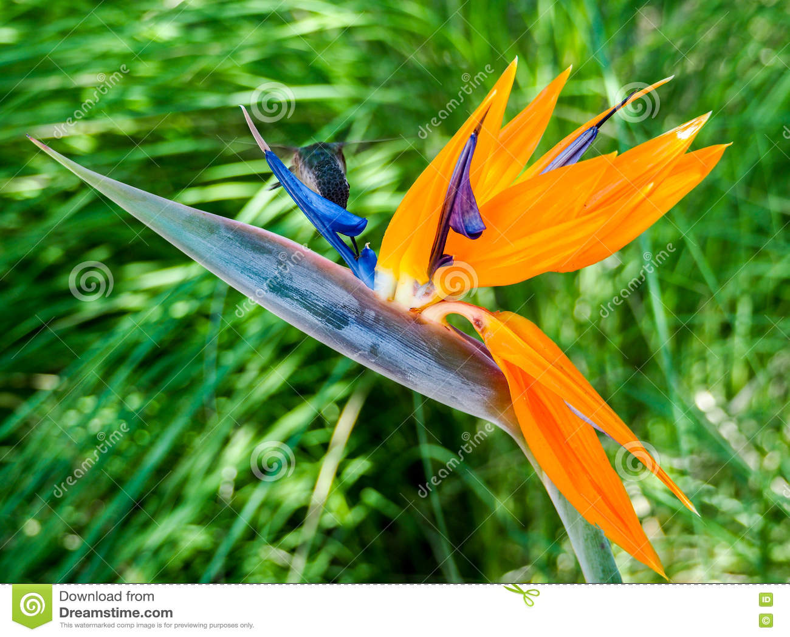 le colibri alimente sur le nectar d 39 un oiseau de fleur de paradis image stock image 80178459. Black Bedroom Furniture Sets. Home Design Ideas