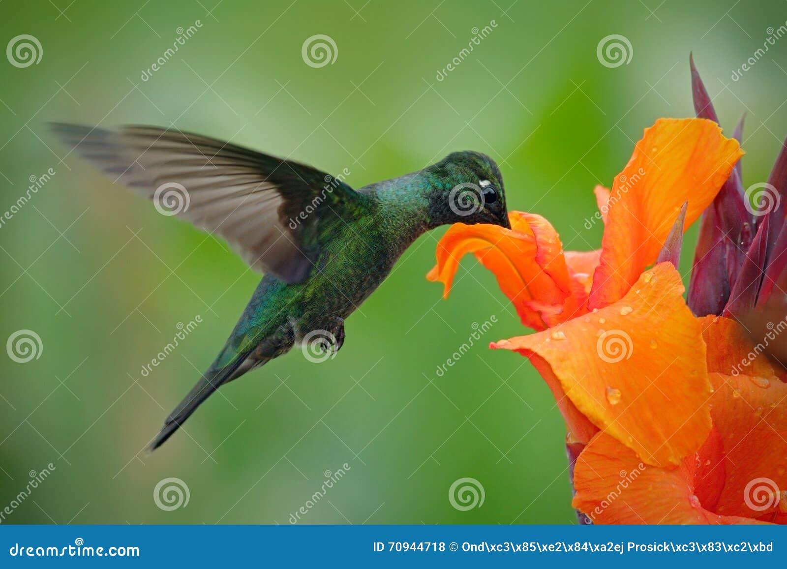 Le colibri gentil, colibri magnifique, fulgens d Eugenes, volant à côté de la belle fleur orange avec le cinglement fleurit dans