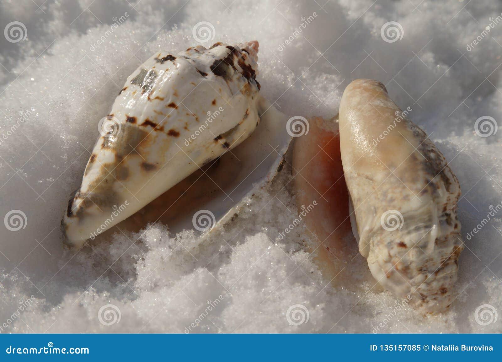 Le conchiglie brillano al sole nella neve