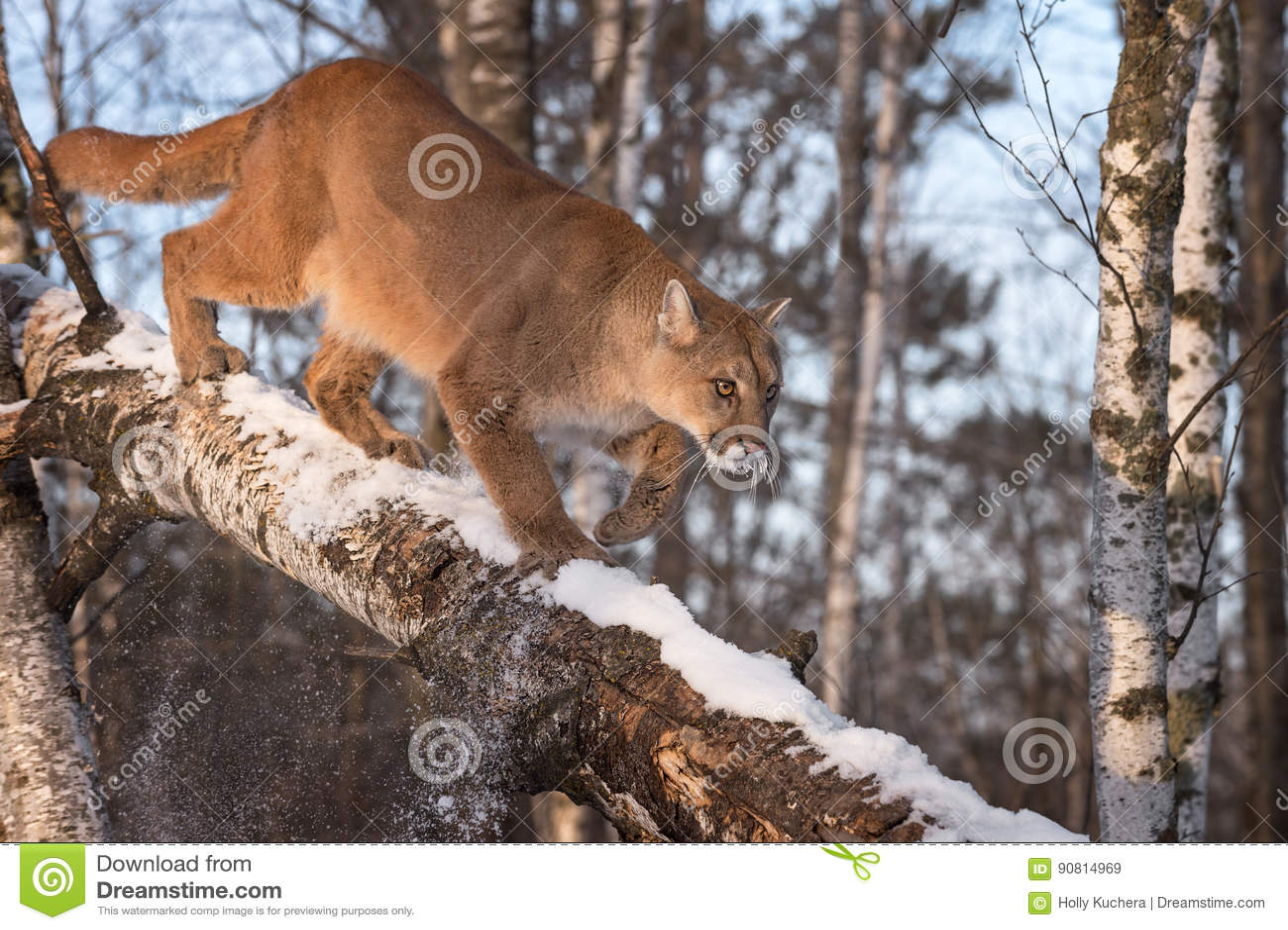 Le Concolor De Puma De Puma De Femelle Adulte Frappe La Neige ...