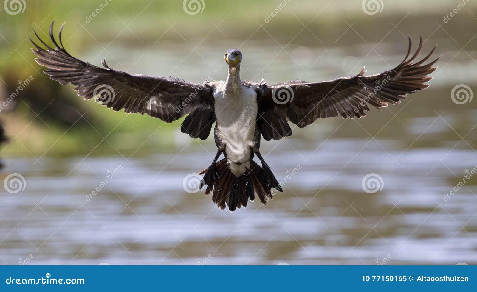 Le cormoran breasted par blanc décollent du barrage pour chasser des poissons