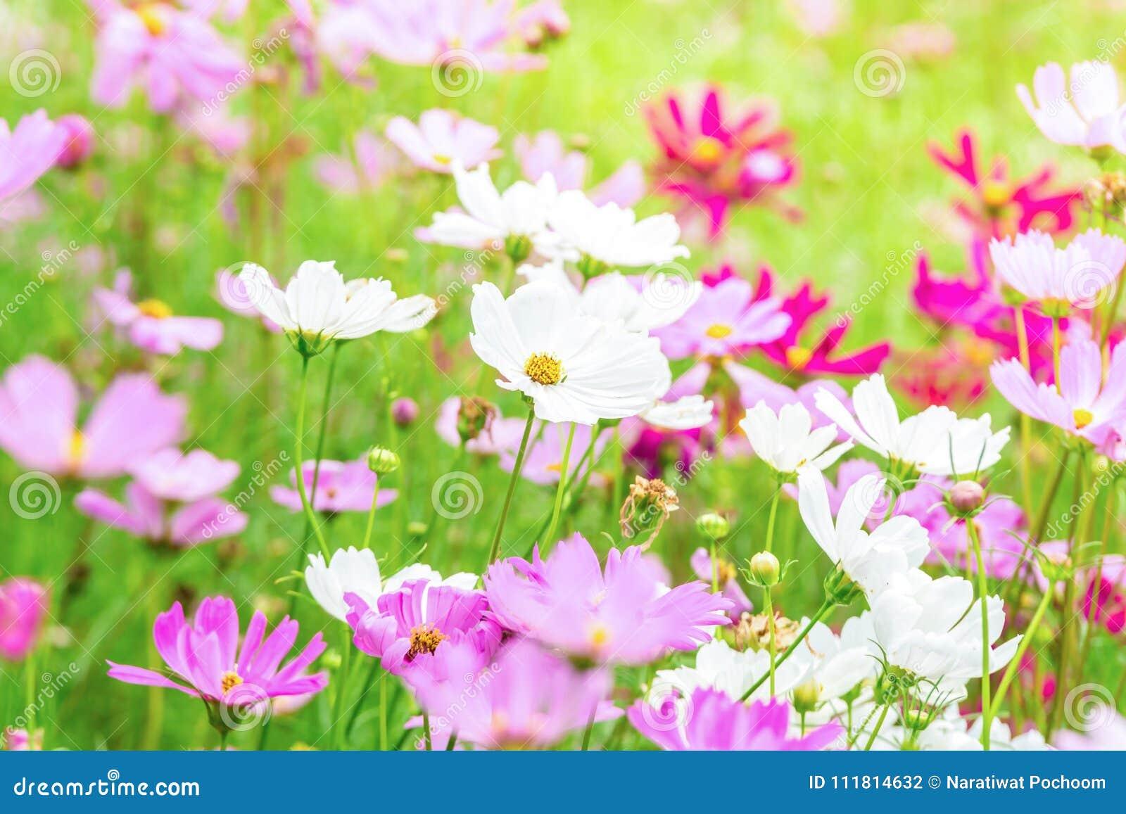 Le Cosmos Rose Et Blanc Fleurit Dans Le Jardin Belle Fleur Photo