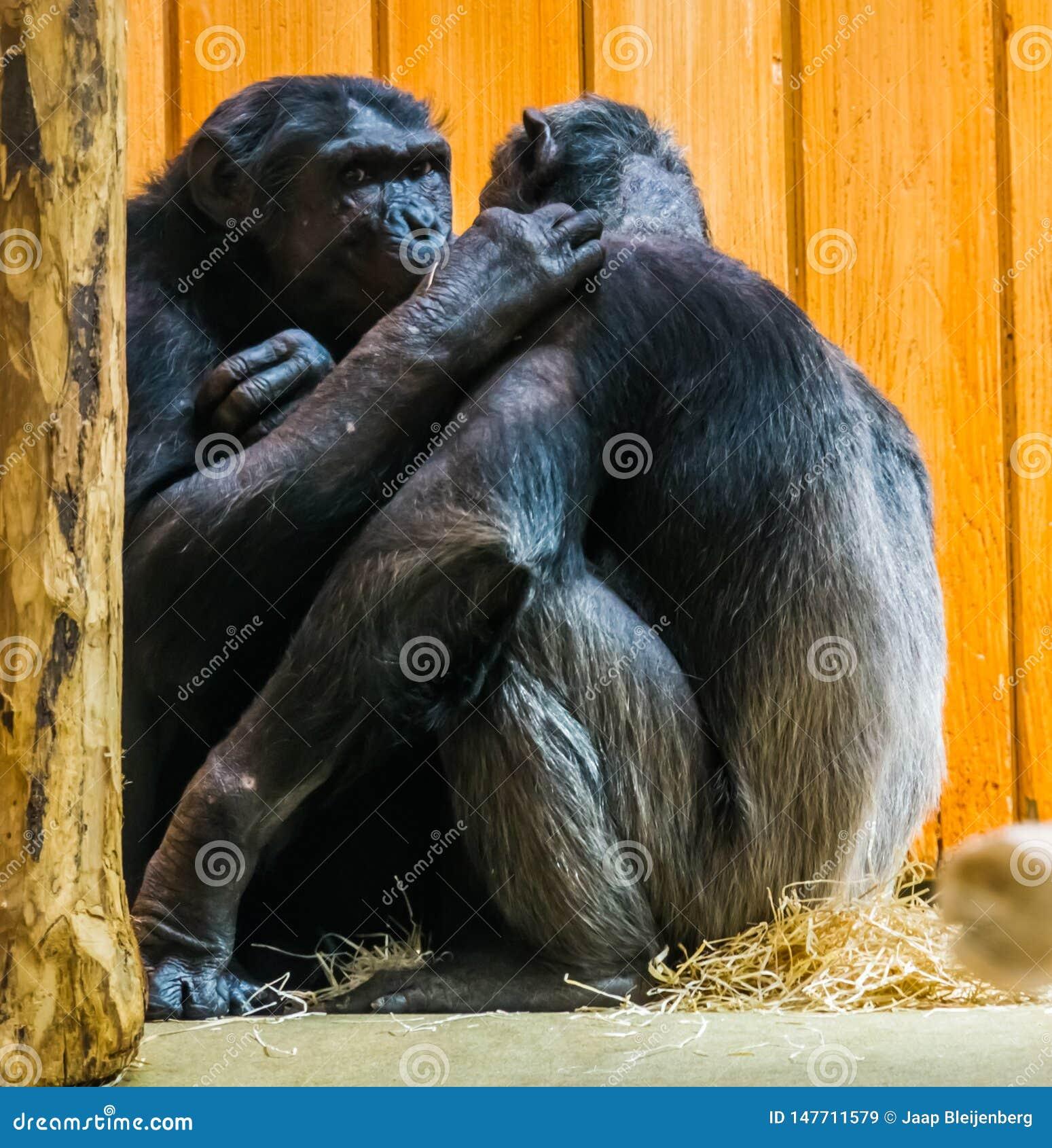 Le couple commun de chimpanzé étant très intime ensemble, imite exprimer l amour entre eux, comportement de primat