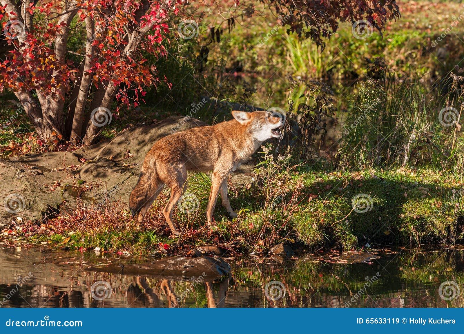 Le coyote (latrans de Canis) marche et hurle