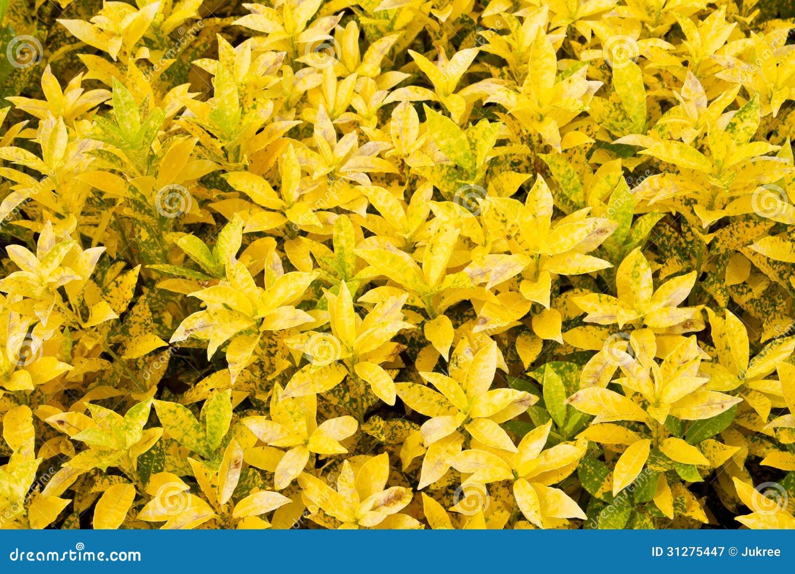 Le croton plante des feuilles image stock image du for Plante 9 feuilles